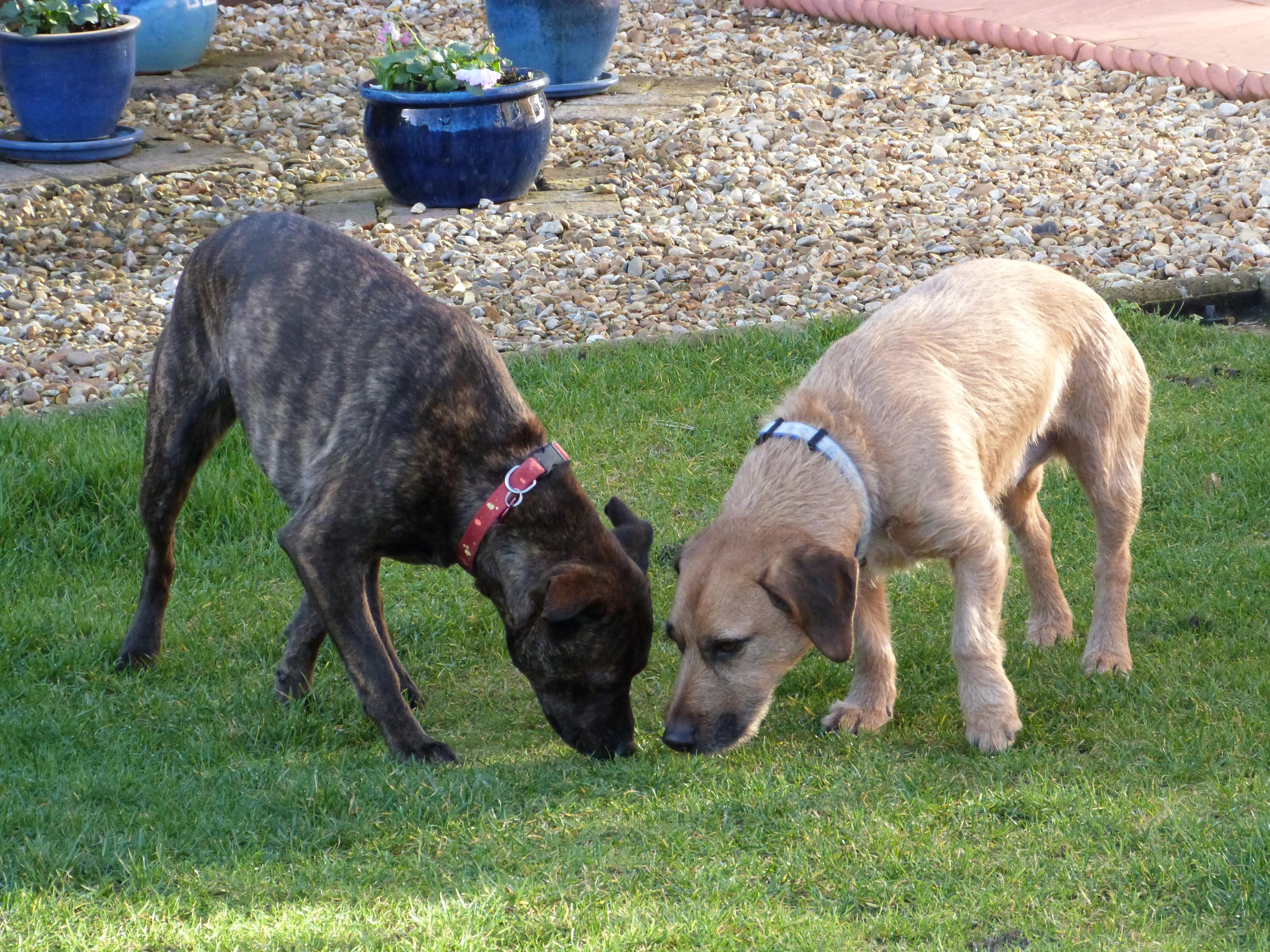 Must see Boerboel Black Adorable Dog - dog-mammal-vertebrate-dog-breed-boerboel-dog-like-mammal-carnivoran-animal-sports-dog-crossbreeds-black-mouth-cur-cimarr-n-uruguayo-17058  Collection_469285  .jpg
