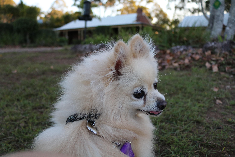 Free Images Vertebrate Dog Breed Pomeranian Dog Like Mammal