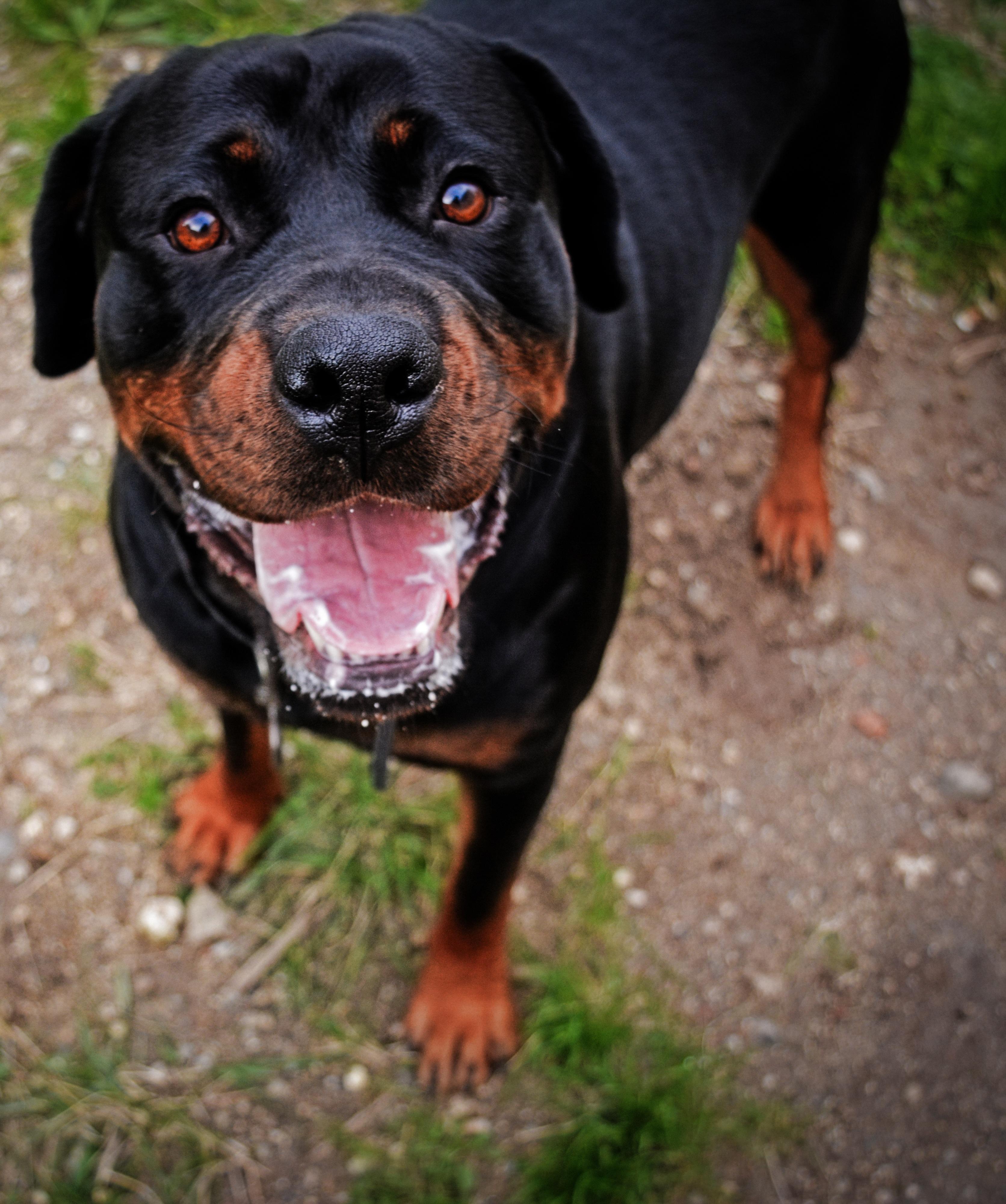 Gambar Binatang Menyusui Bertulang Belakang Jenis Anjing Rottweiler Anjing Seperti Mamalia Carnivora Austria Hound Hitam Dan Cokelat Anjing Pemburu Polandia Hound Transylvania Anjing Gunung Swiss Yang Lebih Besar Bergumam 3344x4000