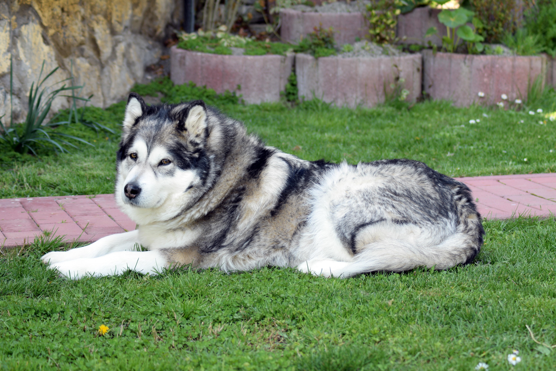 Free Images Vertebrate Dog Breed Siberian Husky Alaskan