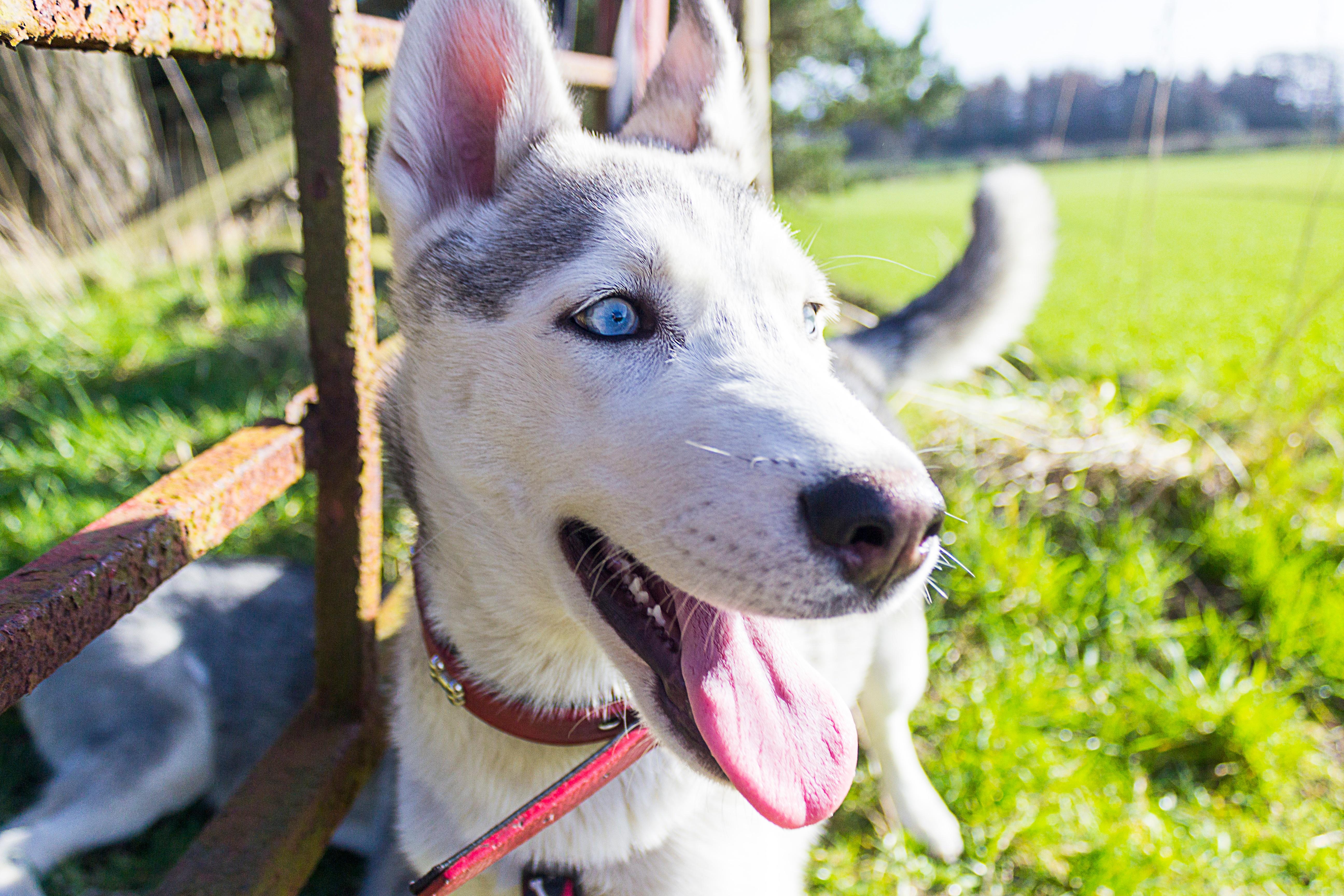 Free Images Vertebrate Dog Breed Siberian Husky Dog Like Mammal