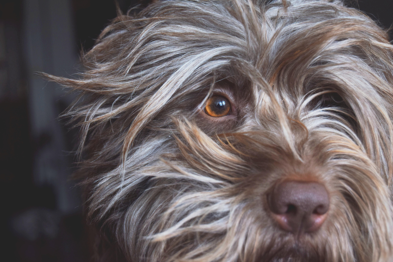 Free Images : vertebrate, dog breed, tibetan terrier, australian ...