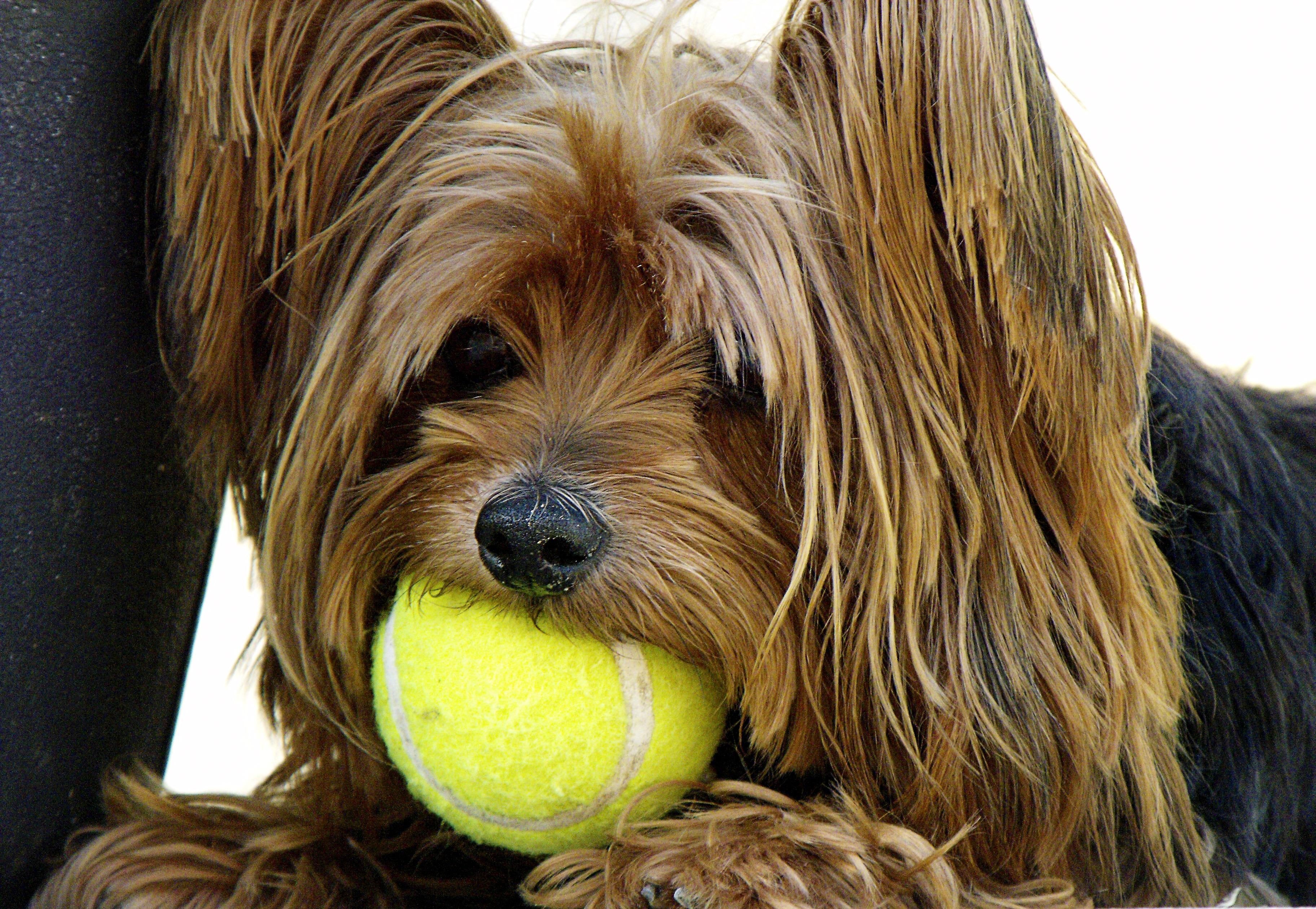 Amazing Cairn Terrier Ball Adorable Dog - dog-mammal-vertebrate-dog-breed-terrier-yorkshire-terrier-tennis-ball-cairn-terrier-tibetan-terrier-australian-silky-terrier-dog-like-mammal-australian-terrier-schnoodle-dandie-dinmont-terrier-glen-of-imaal-terrier-dog-crossbreeds-morkie-norwich-terrier-norfolk-terrier-lowchen-1120099  Photograph_389057  .jpg