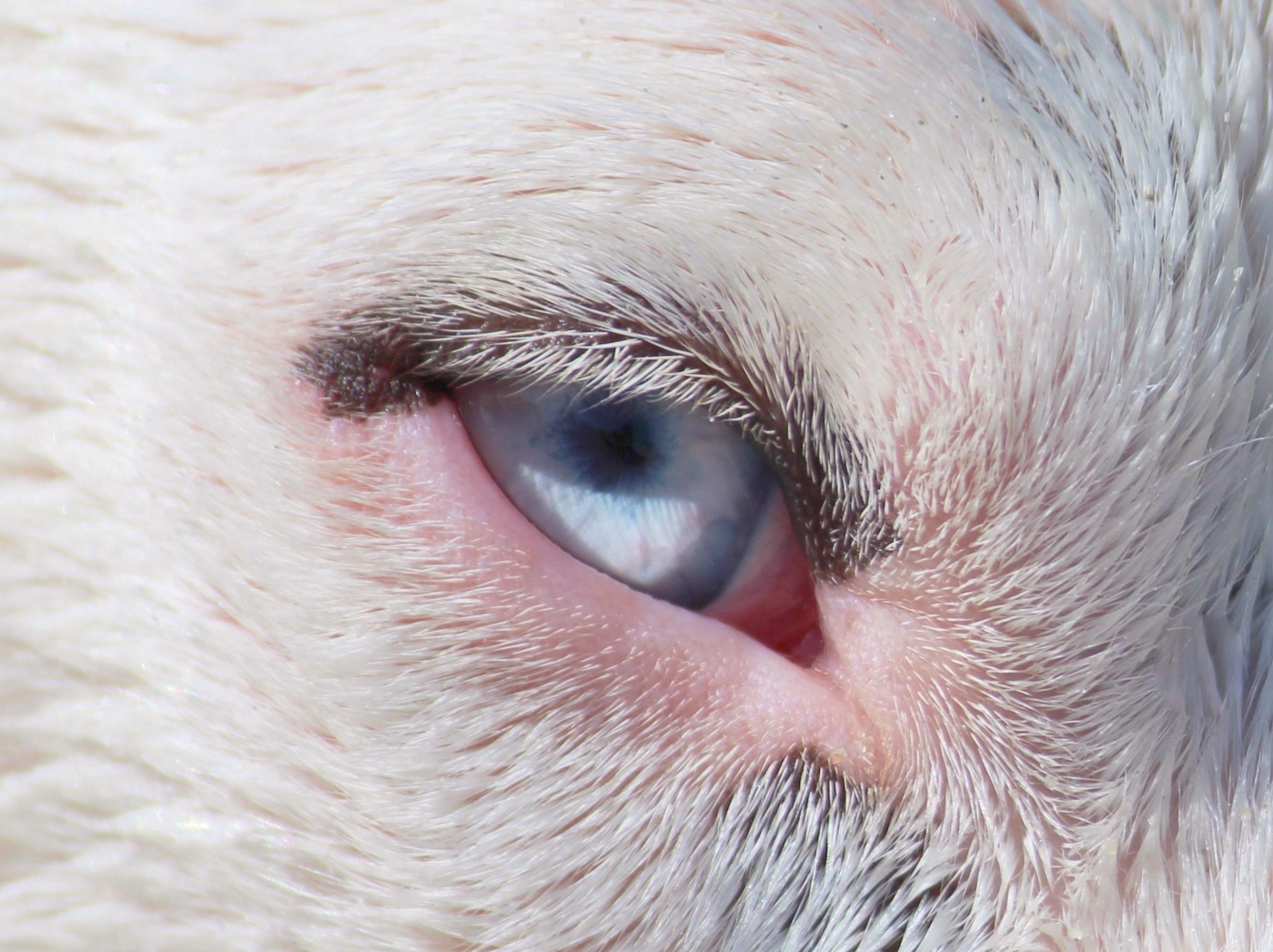 Kostenlose foto : Hund, Porträt, blau, Ohr, schließen, Mund, Wimper ...
