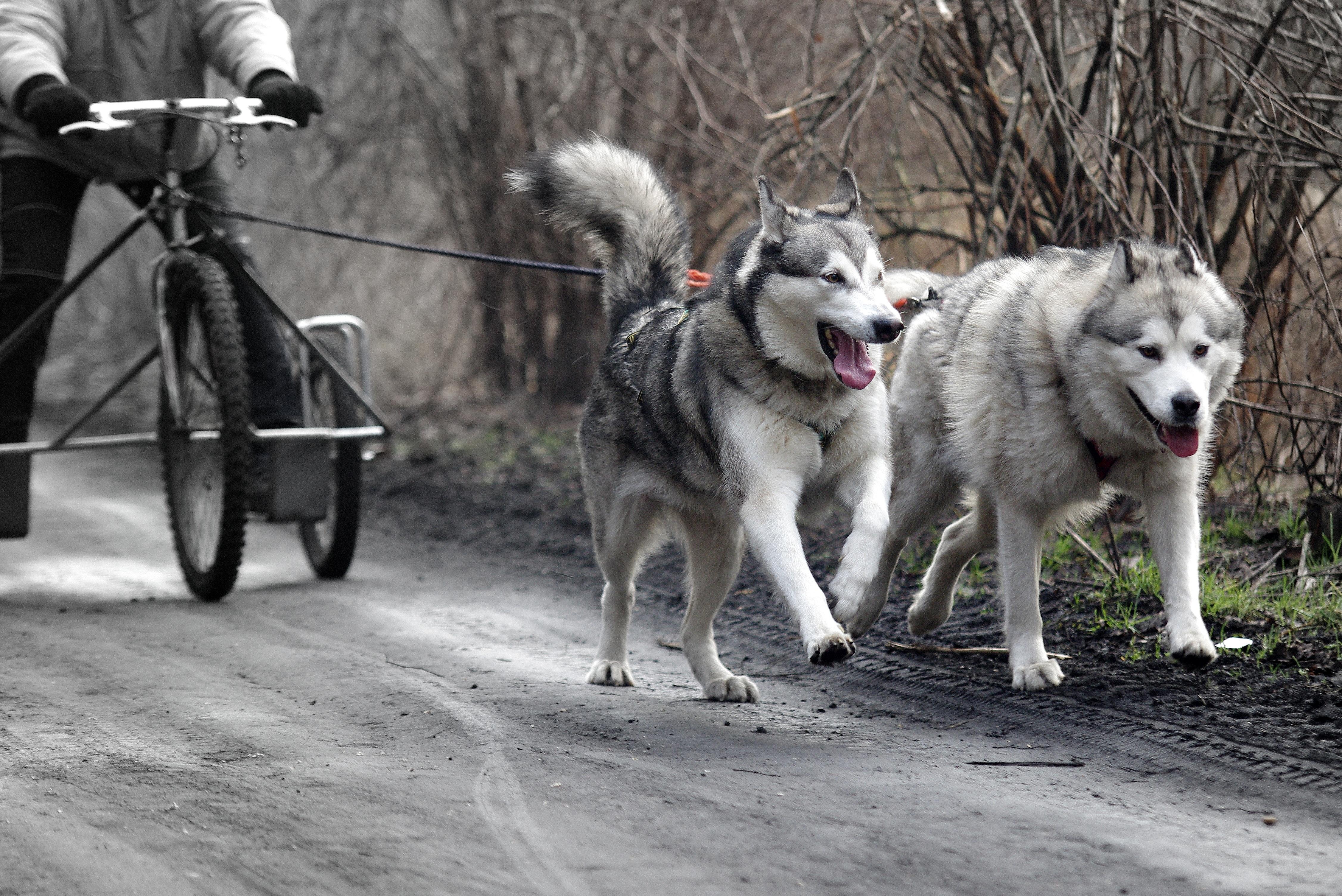 Vertebrate Sled Dog Dogs