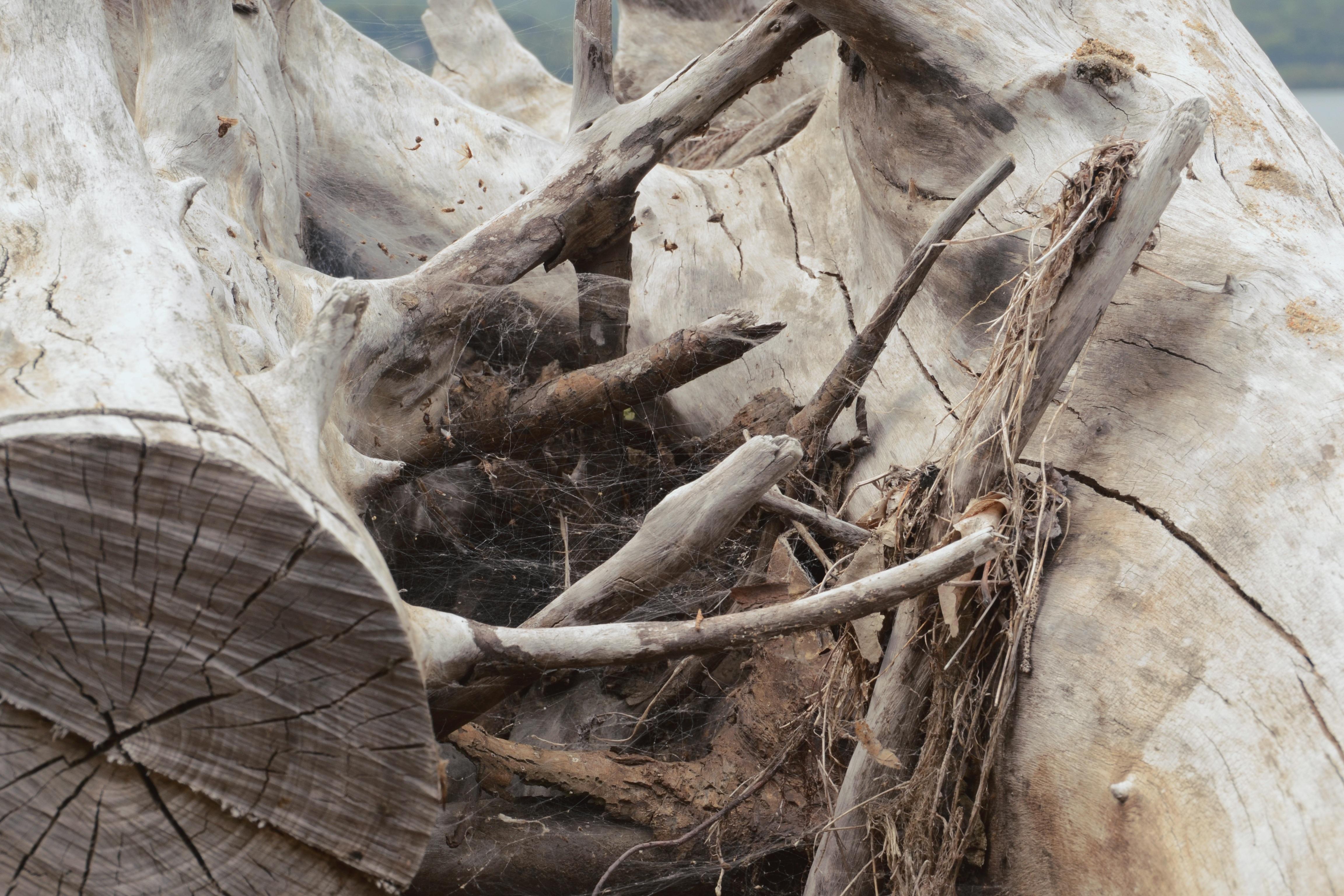 Images Gratuites : bois flotté, arbre, la nature, branche, plante ...