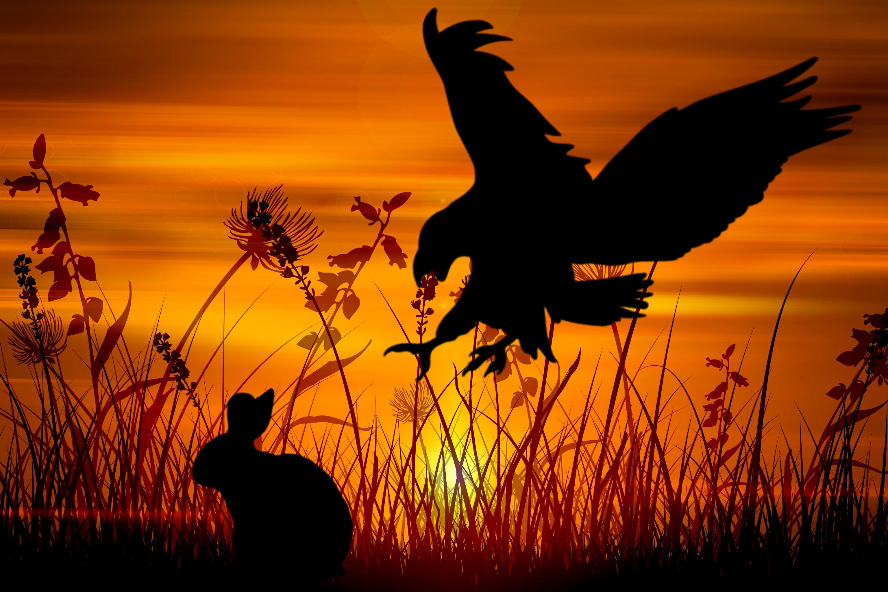 Free Images Eagle Rabbit Hunt Wildlife Hunting Hunter Creature Bunny Sunset Grass Halme Sun Wall Structure Design Orange Ornament Sky Sunrise Silhouette Bird Ecoregion Savanna Beak Evening Computer Wallpaper Dawn Stock
