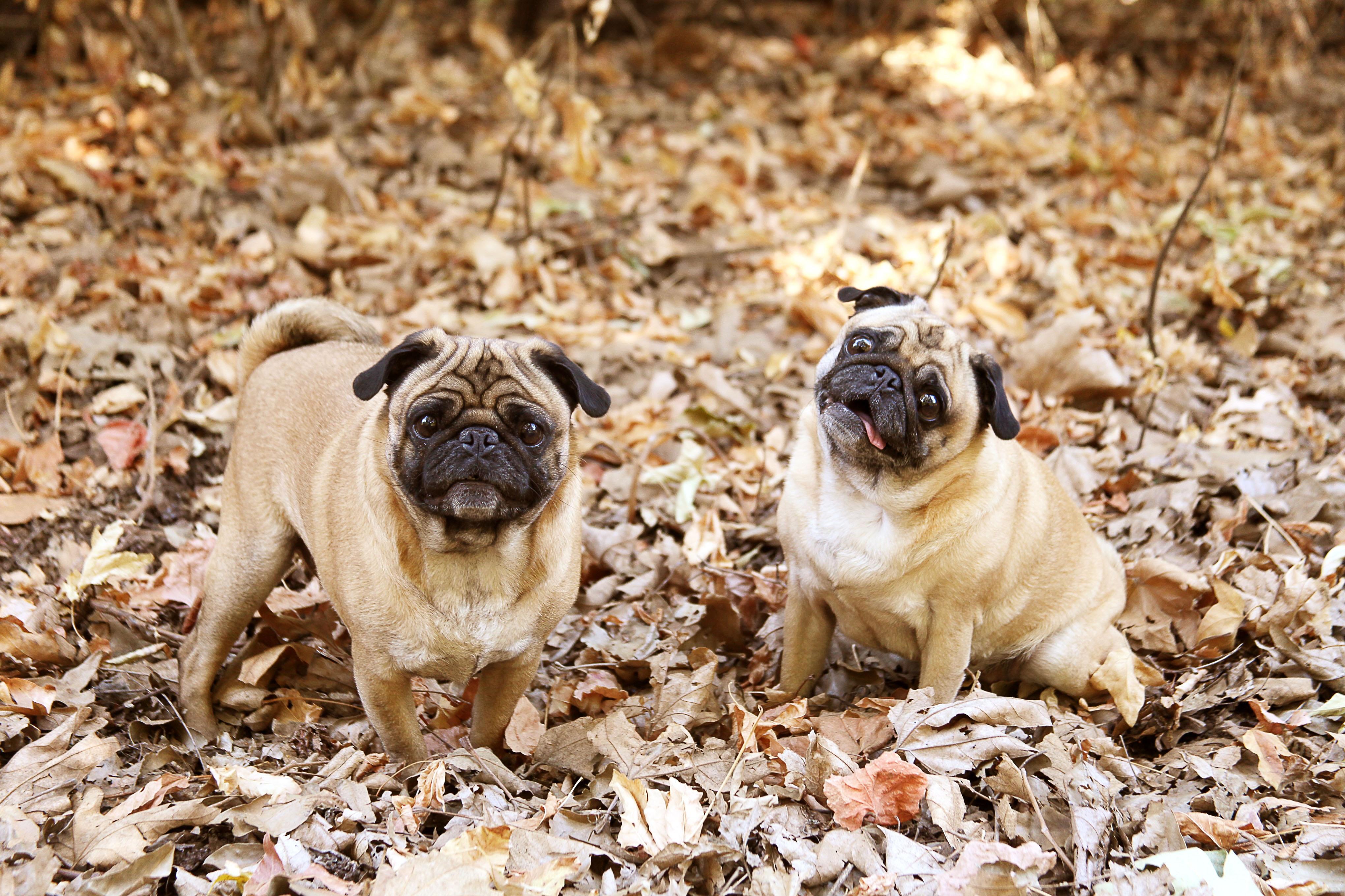 Top Pug Canine Adorable Dog - fall-puppy-dog-cute-canine-looking-portrait-small-mammal-friendship-together-pug-leaves-vertebrate-adorable-dog-breed-purebred-pedigree-dog-like-mammal-dog-crossbreeds-1391380  HD_1710065  .jpg