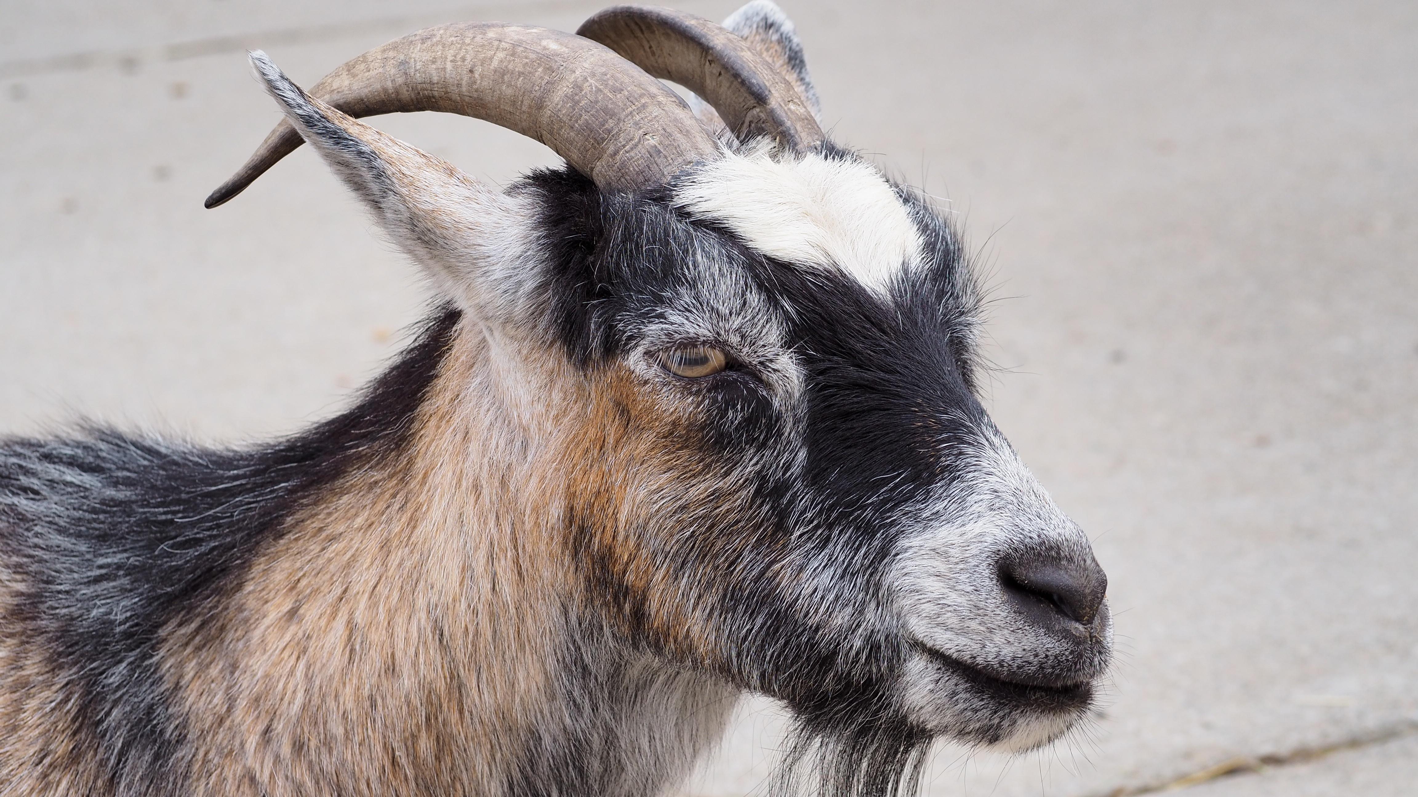 farm-animal-goat-horn-livestock-mammal-fauna-goats-farm-animal-vertebrate-domestic-cow-goat-family-goat-antelope-615143.jpg