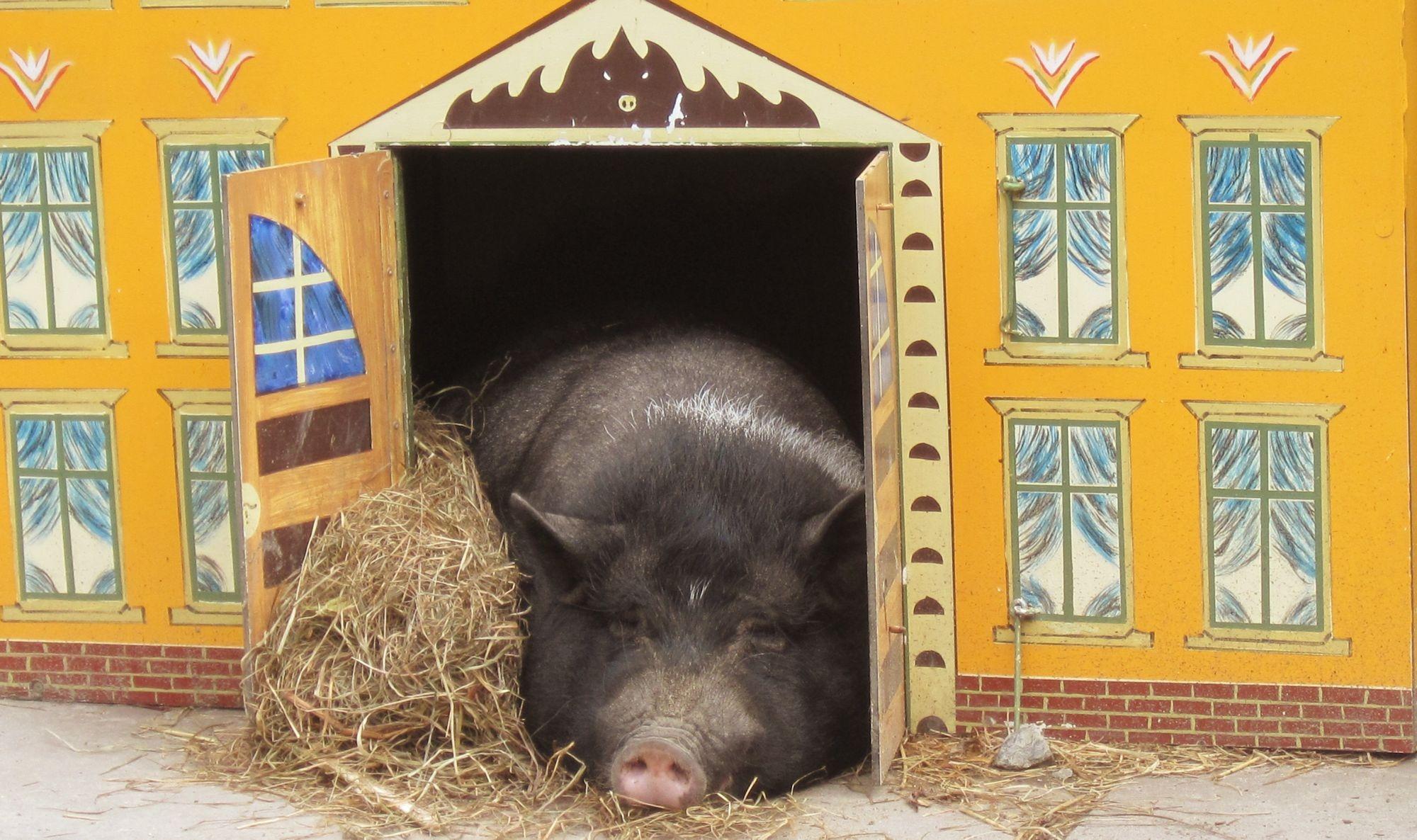 Gambar Tanah Pertanian Hewan Binatang Menyusui Sedih Anak Babi