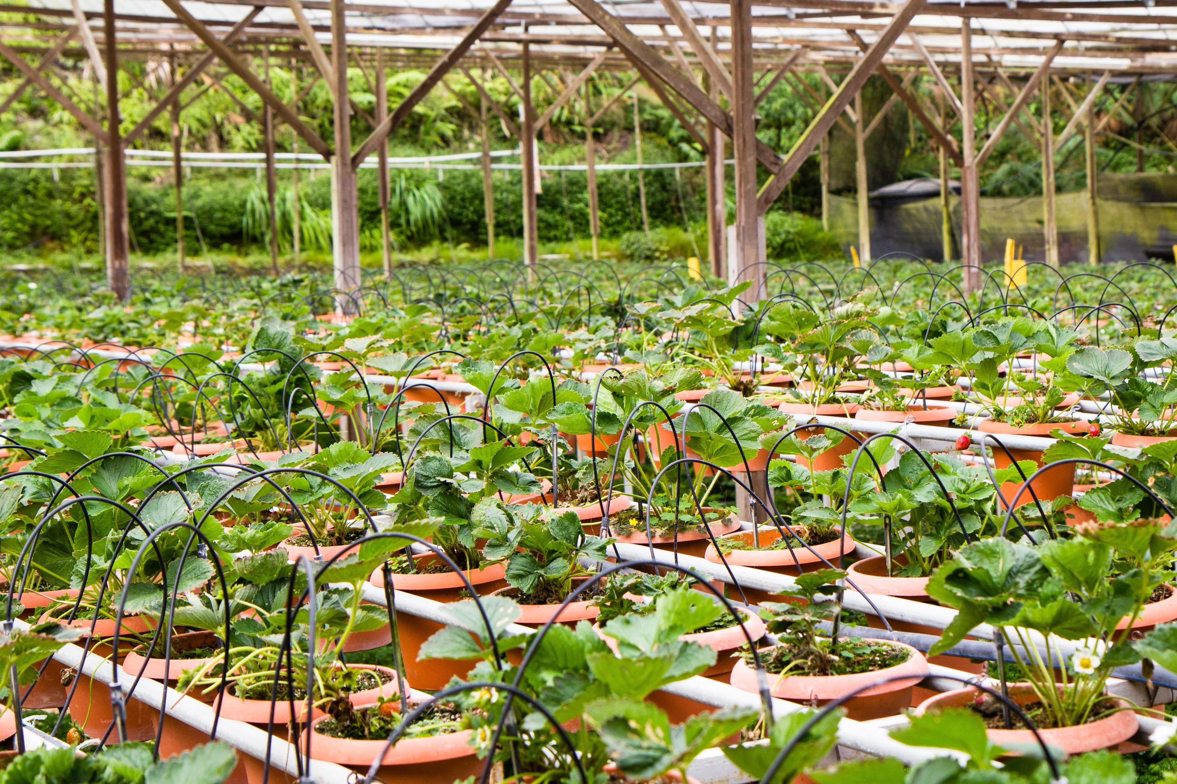 tanah pertanian bunga pot menghasilkan halaman belakang botani taman rumah kaca stroberi pot perkebunan Kebun Raya & Gambar : tanah pertanian bunga pot menghasilkan halaman belakang ...