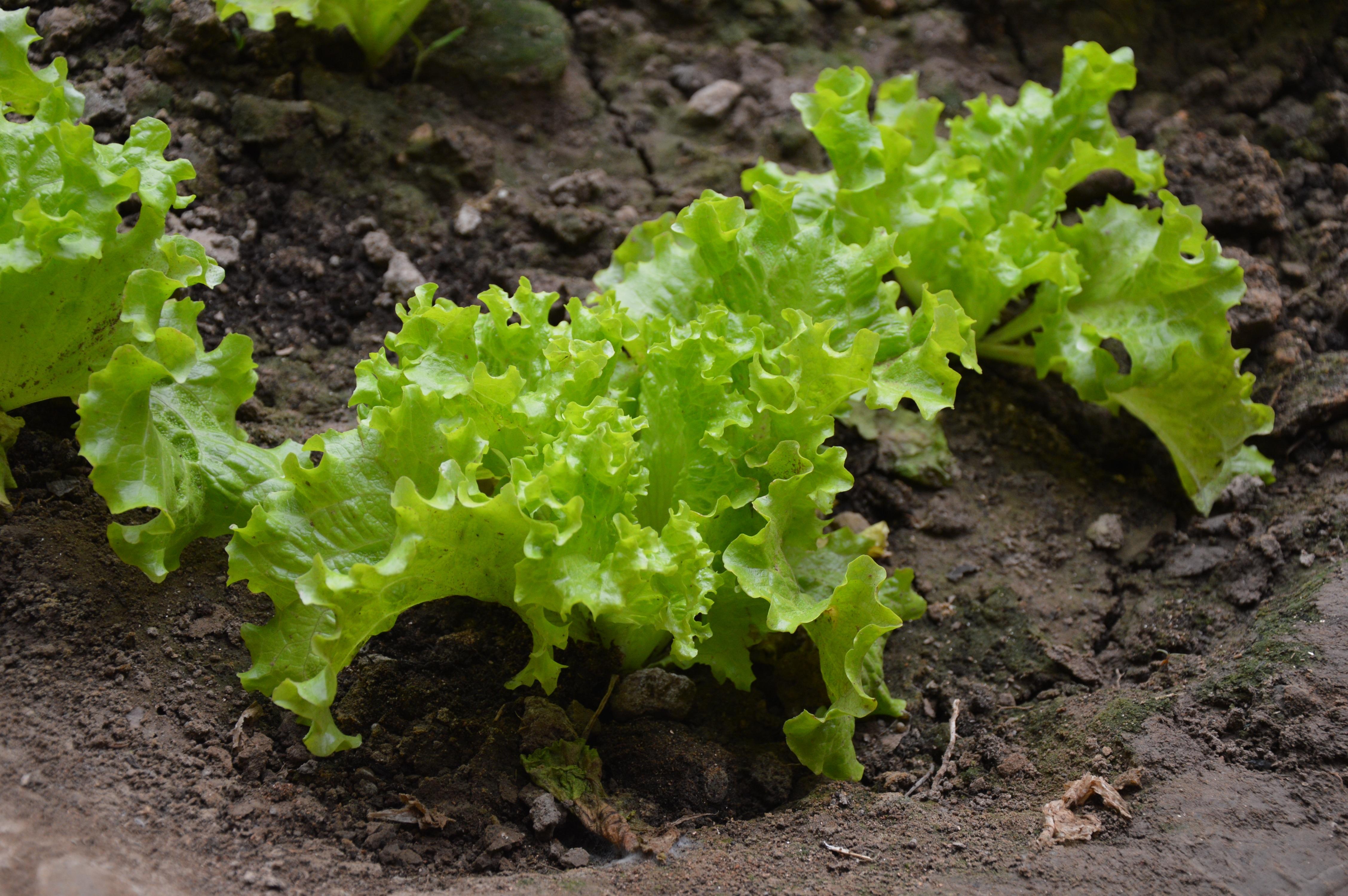 Free Images farm food produce soil garden lettuce vegetables