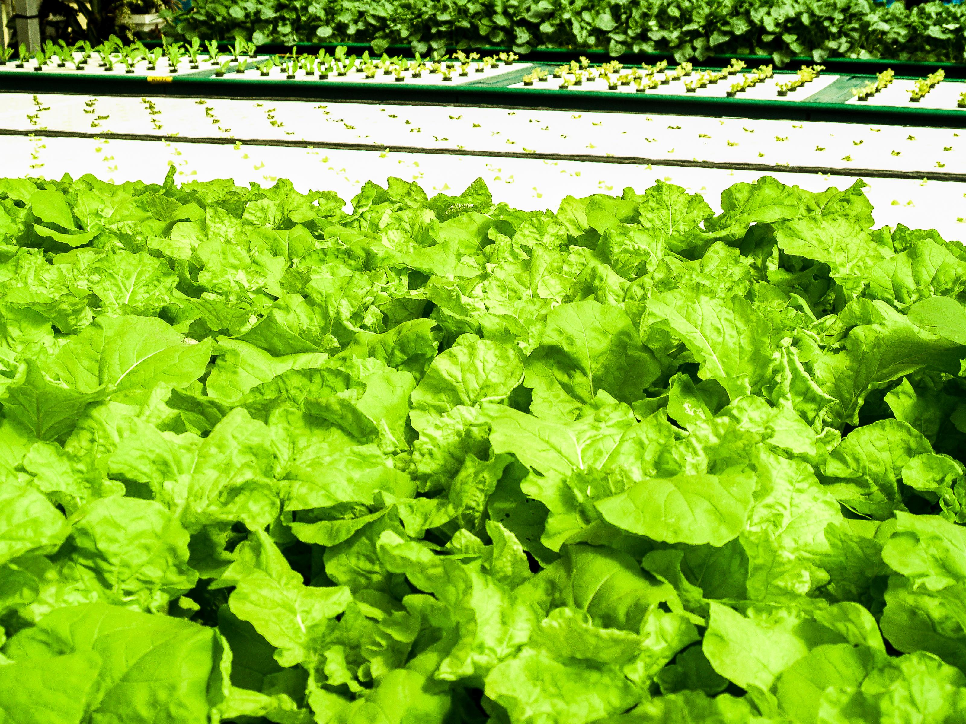 Gambar Tanah Pertanian Hijau Makanan Hidroponik Taman
