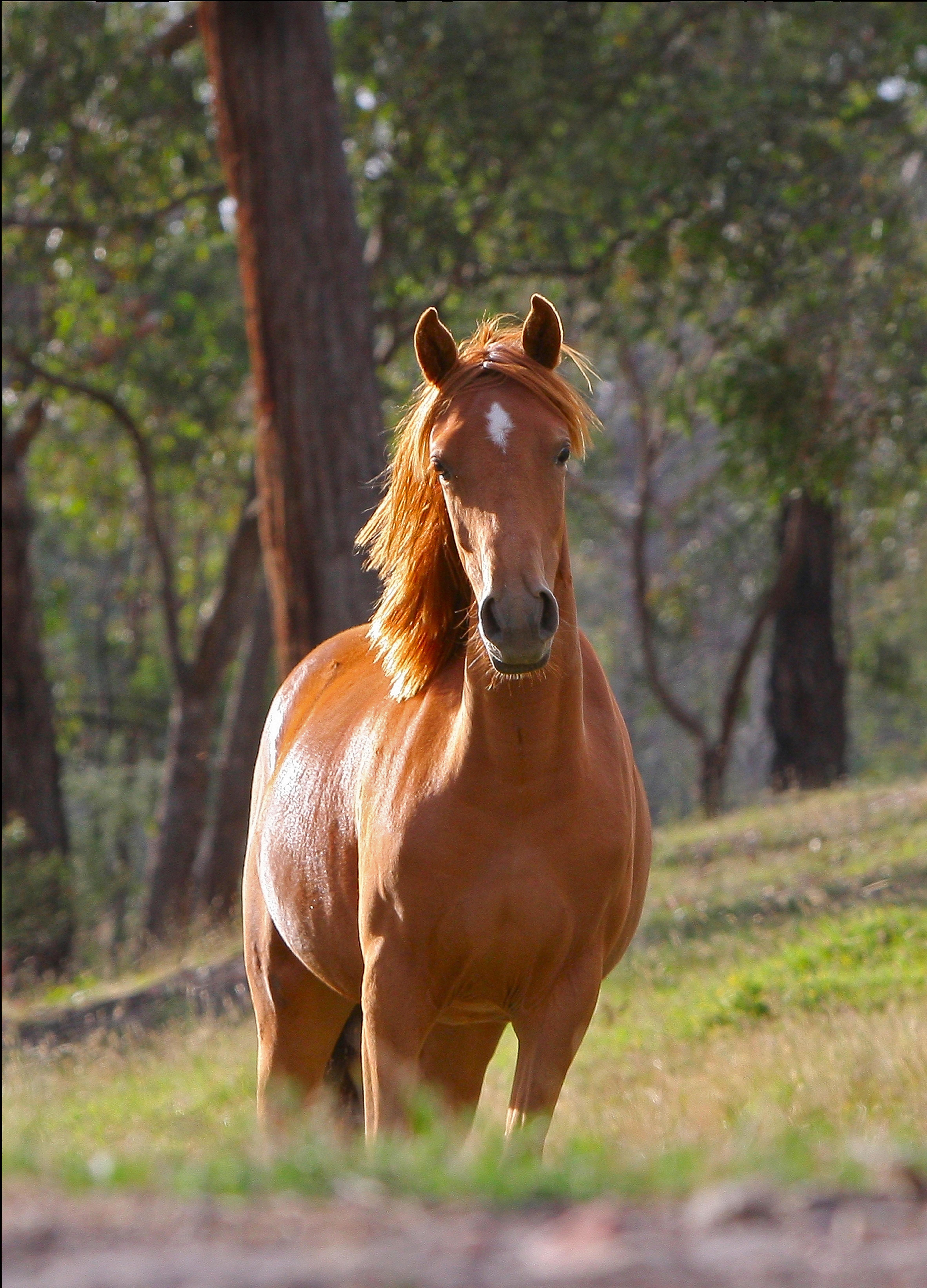 Gambar Tanah Pertanian Padang Rumput Hewan Margasatwa Penggembalaan Binatang Menyusui Kuda Jantan Rambut Kuda Fauna Australia Pony Bertulang Belakang Kuda Betina Anak Kuda Stella Kuda Jantan Muda Kuda Seperti Mamalia Mustang