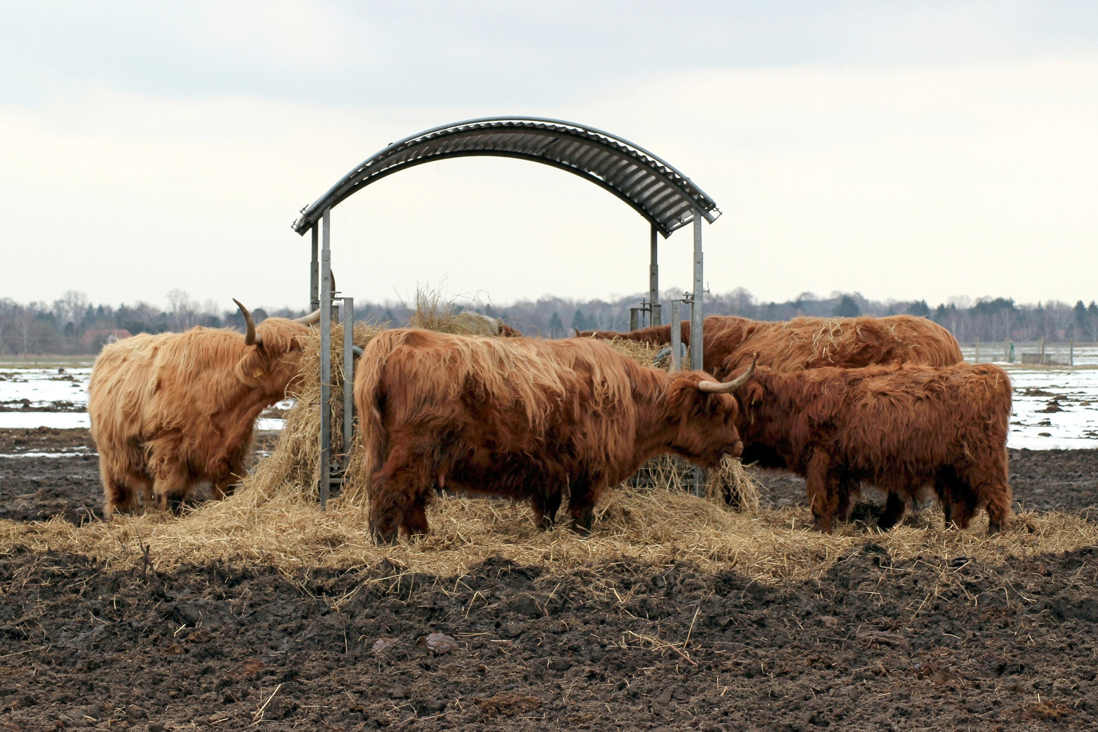 Images gratuites champ ferme corne b tail troupeau - Photos de moutons gratuites ...