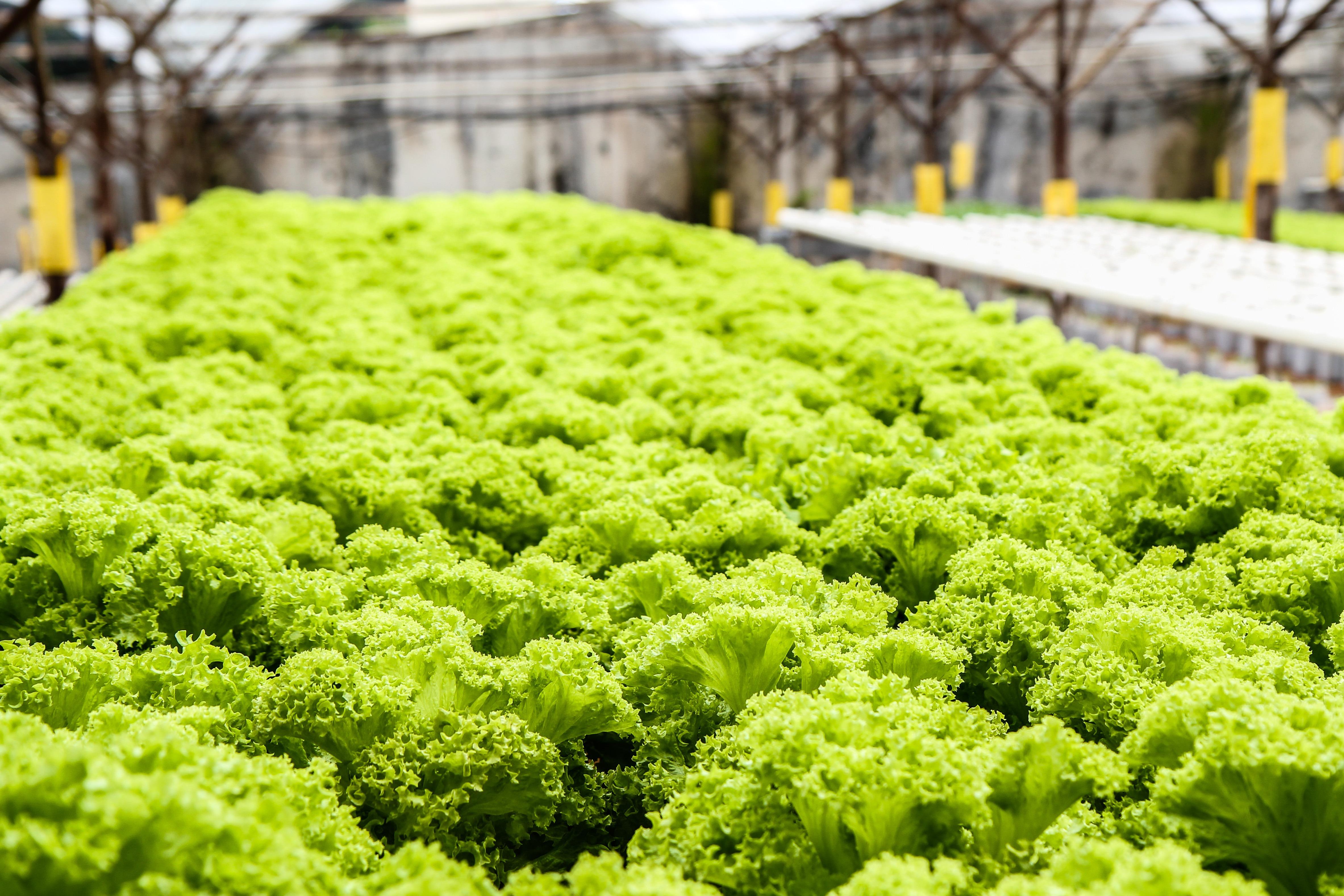 Free Images : field, farm, food, salad, green, farming ...
