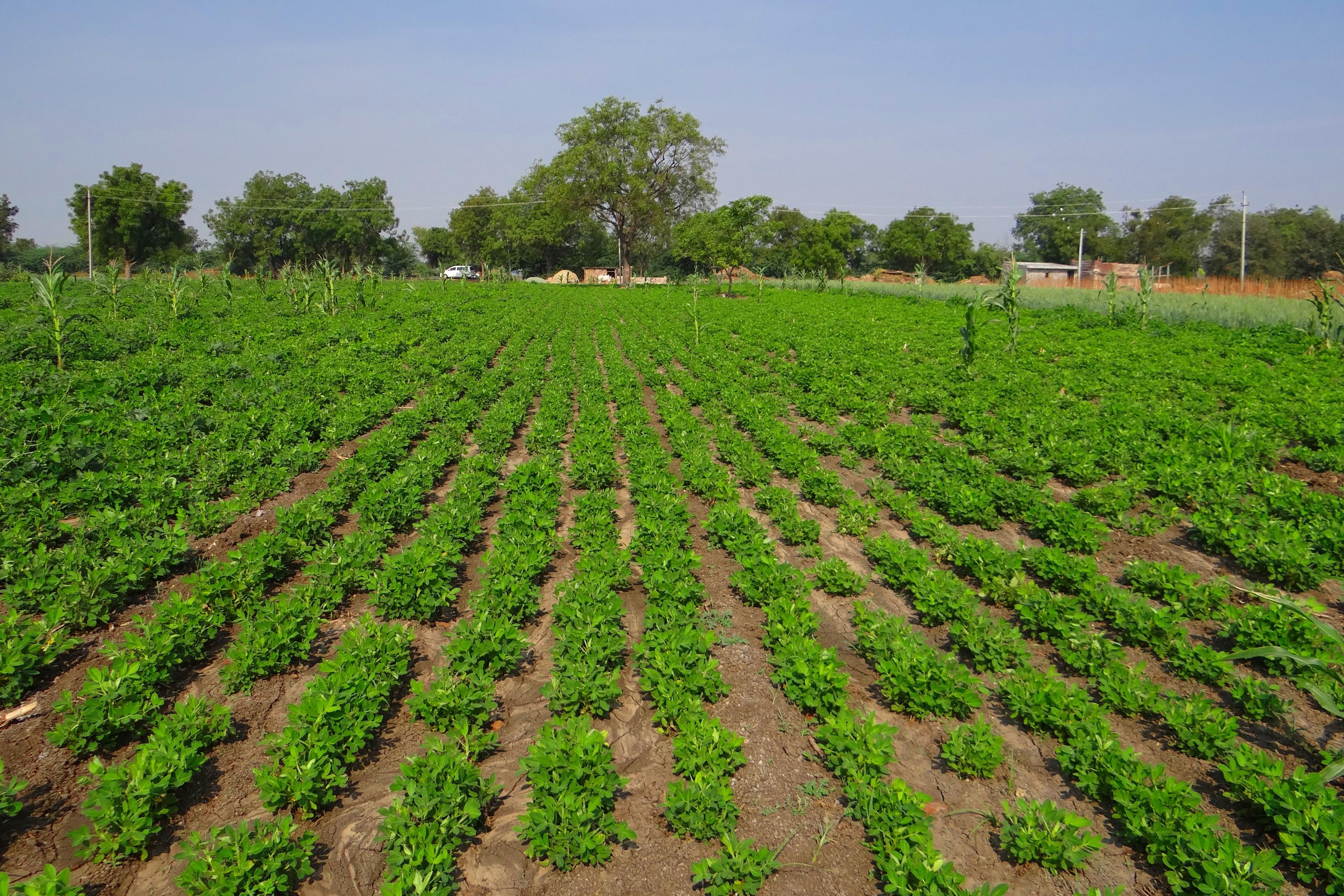 Free Images Farm Produce Soil Agriculture Plain