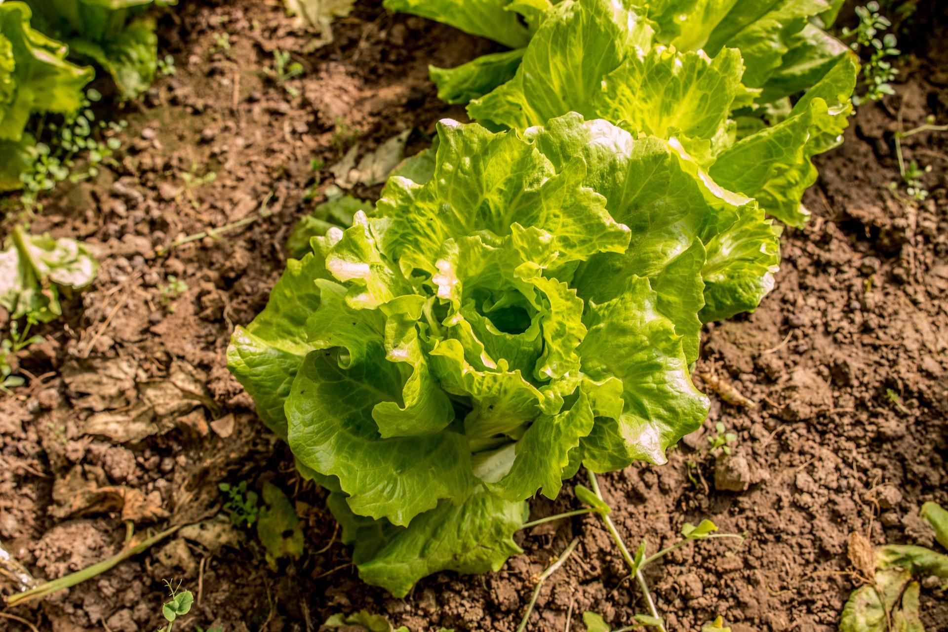 Images gratuites champ fleur aliments vert produire for Solde plante jardin