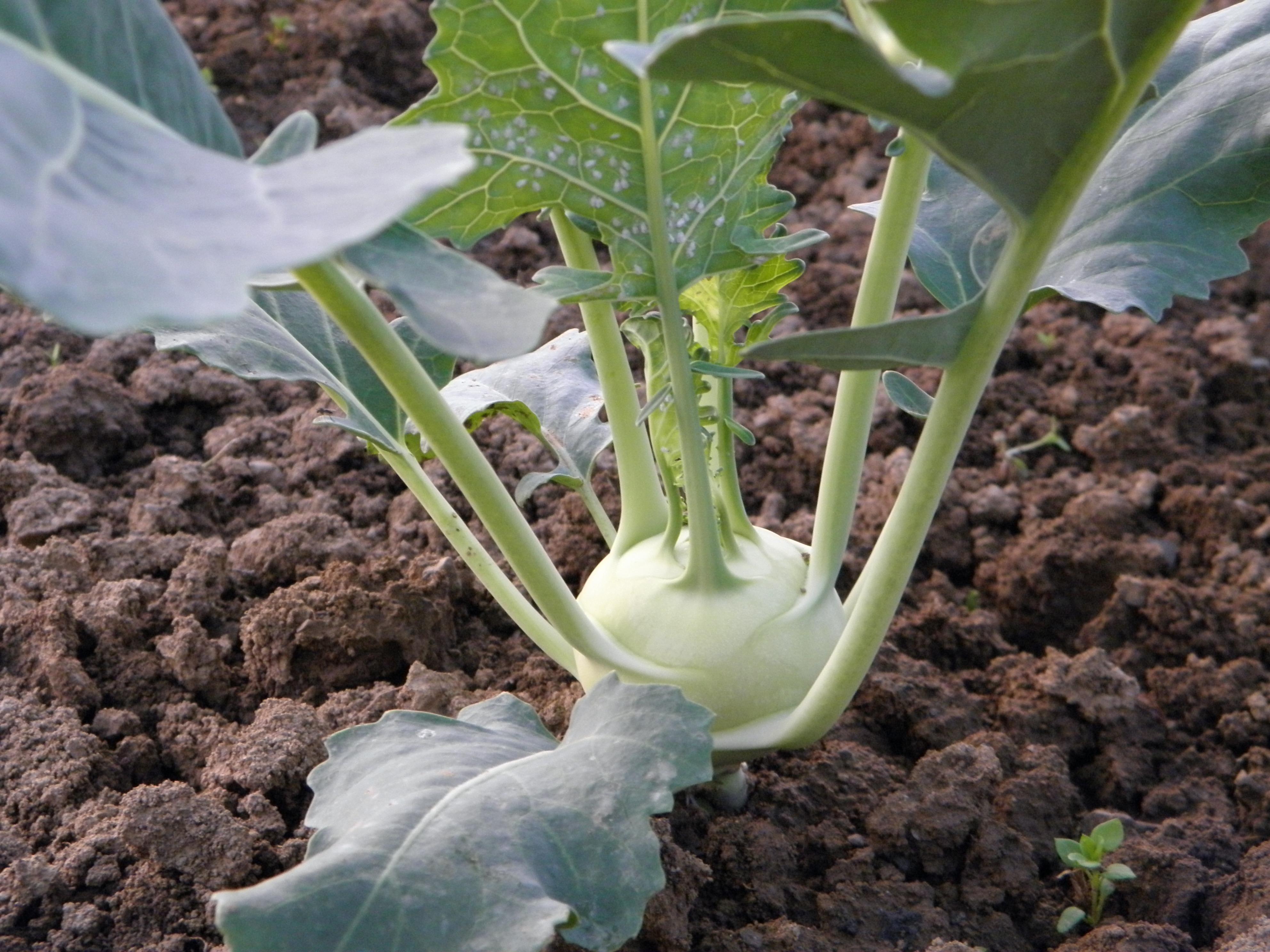 grönsaker ovan jord