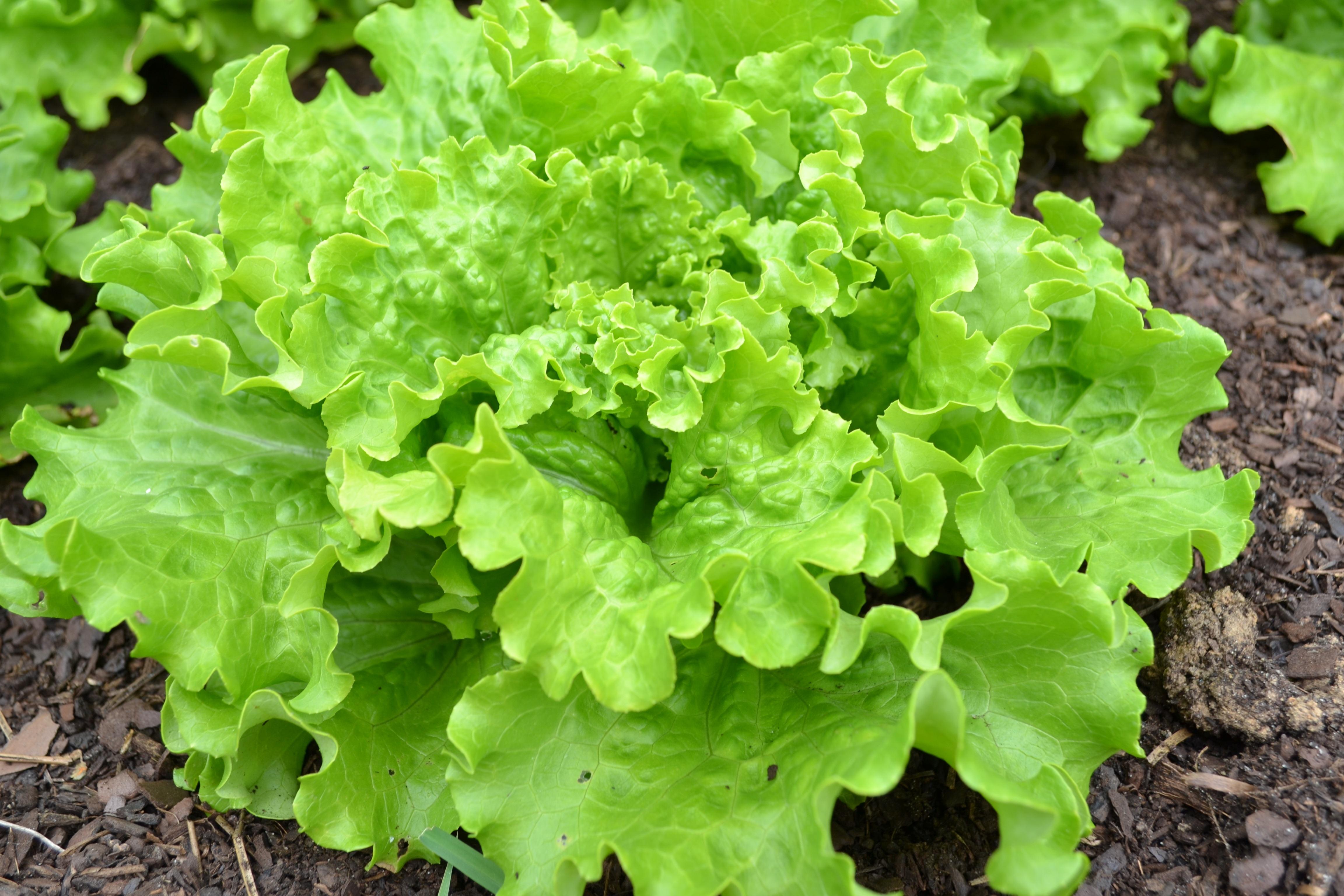 Картинки салат для огорода
