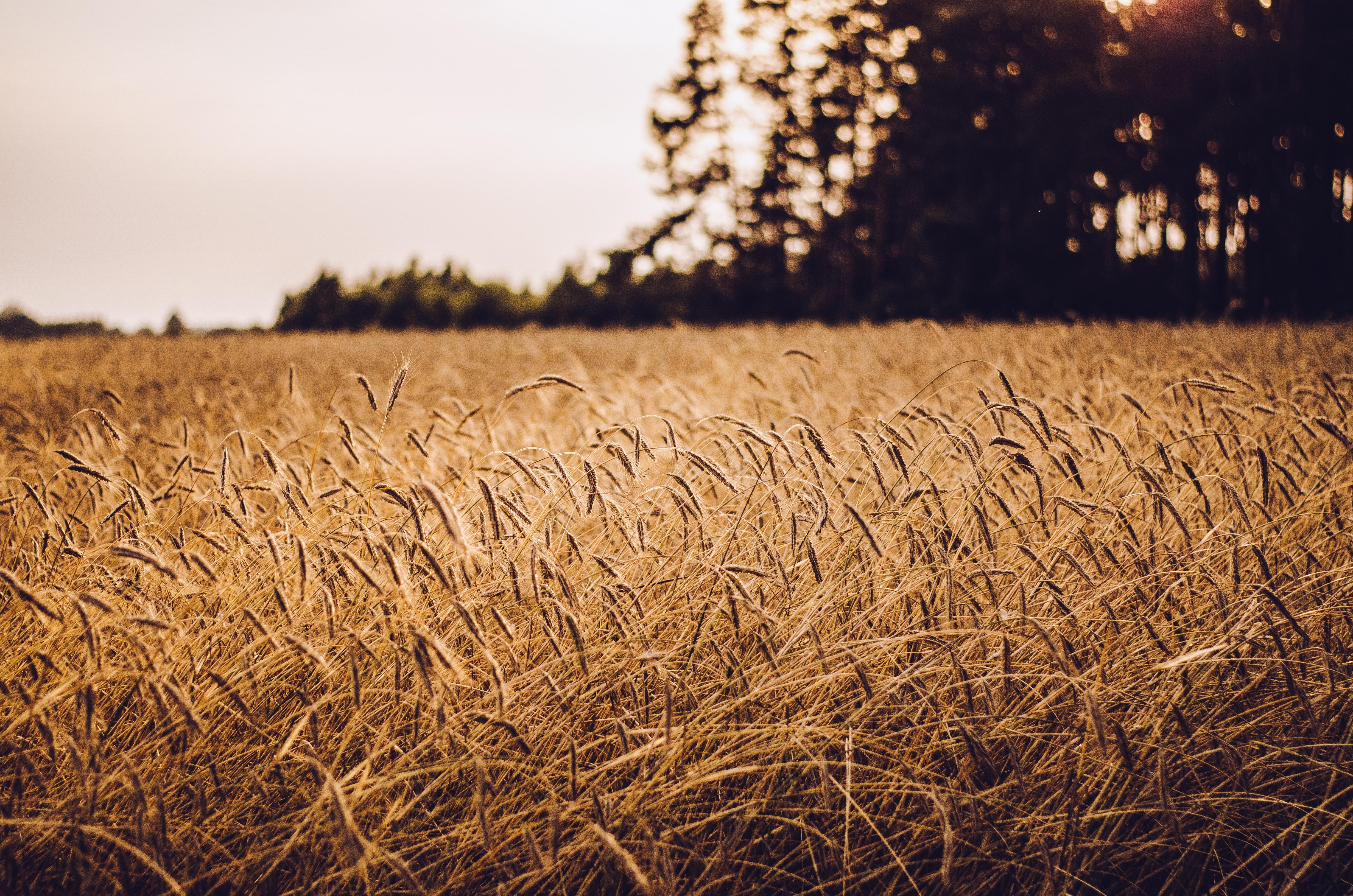 наше время пшеница красивые фотографии что, каждый найдёт