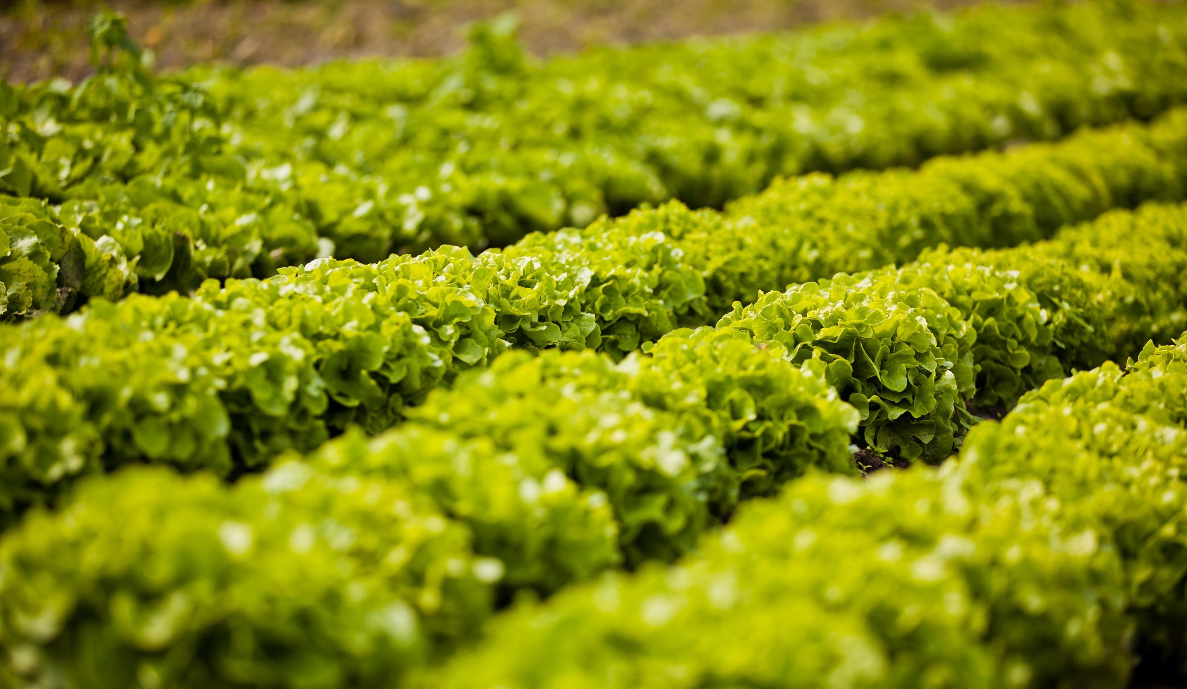 Images gratuites champ feuille aliments salade vert produire l gume sol agriculture - Culture haricot vert plein champ ...