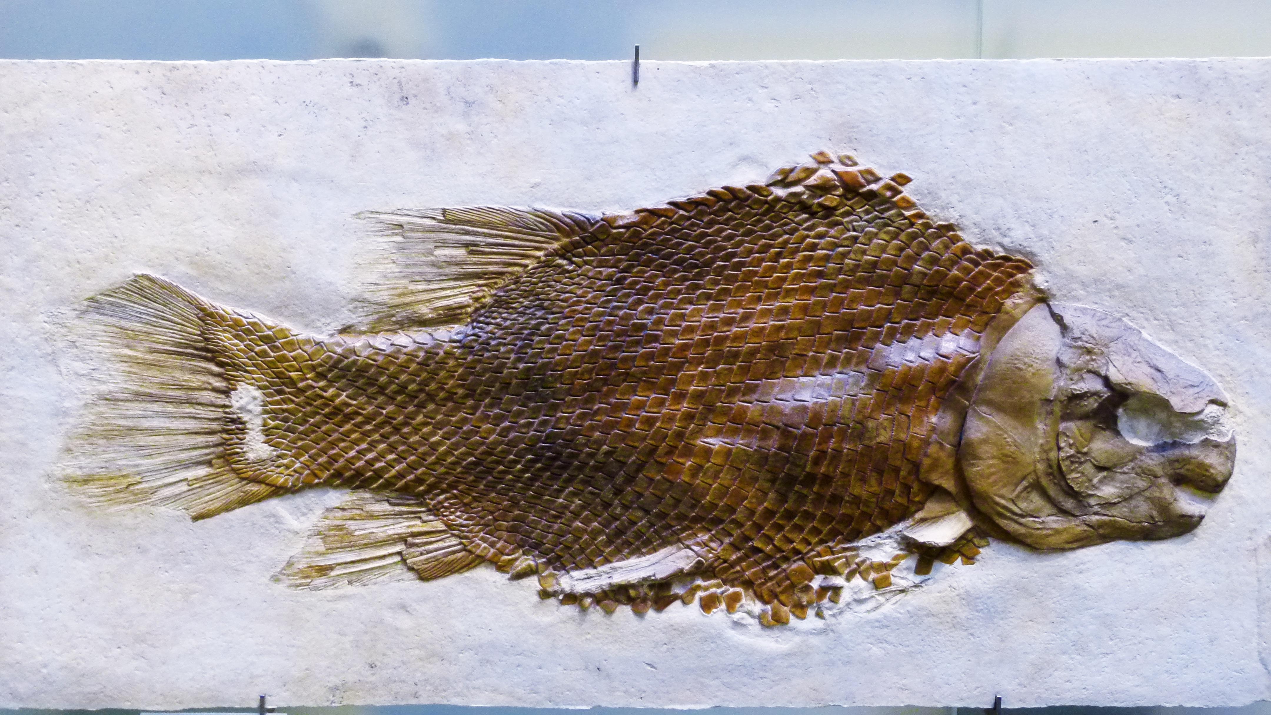 Gambar Ikan Fauna Tulang Patung Seni Kerangka Fosil
