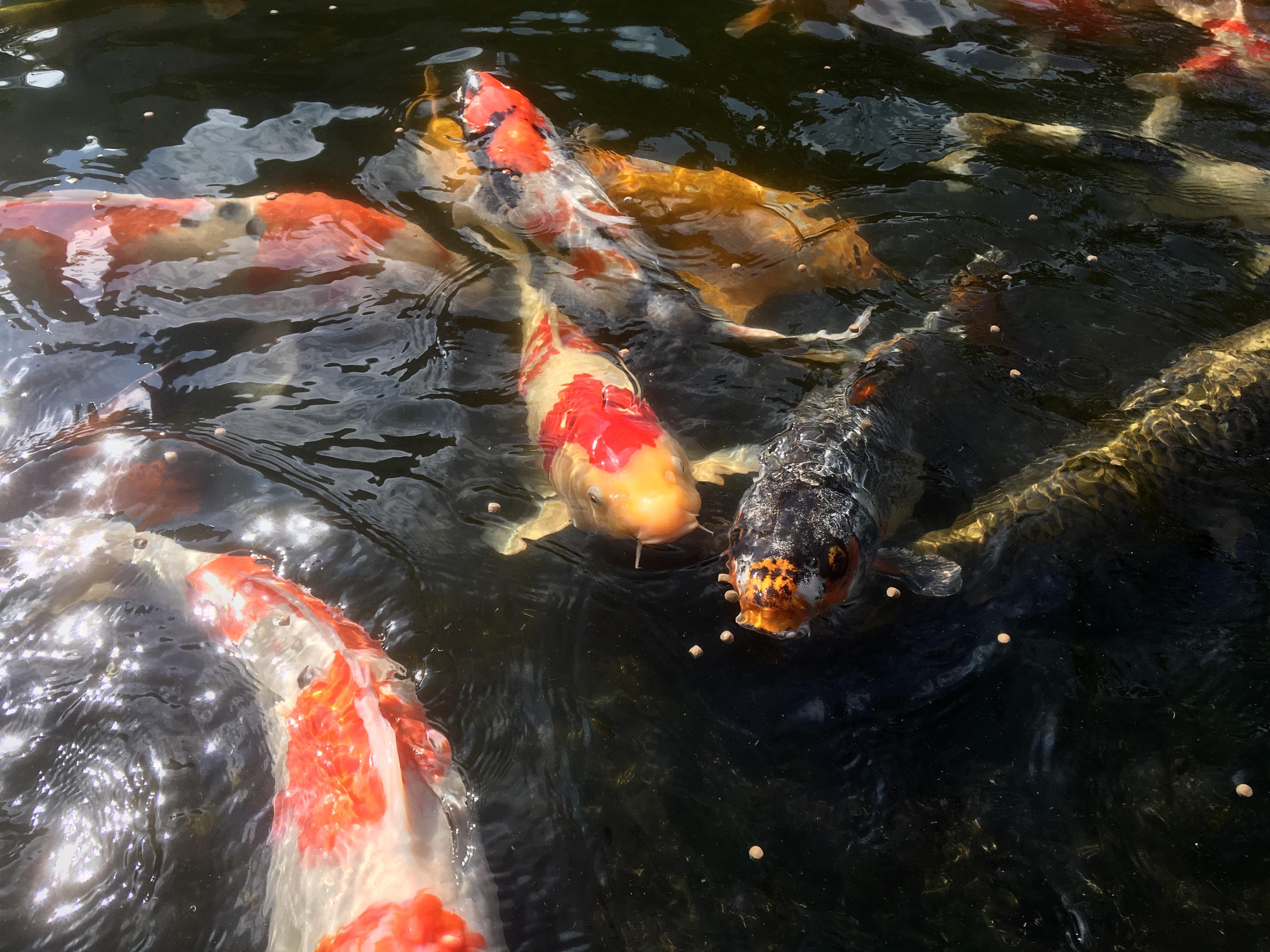 золотая рыбка карп