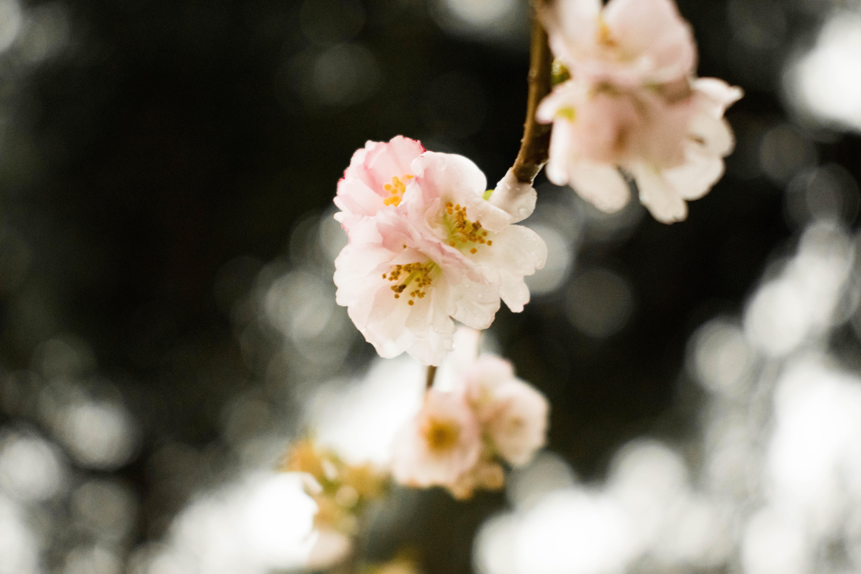 無料画像 自然 ピンク パステルカラー 色 黄 ノスタルジア ノスタルジックな 春 桜の花 工場 フローラ ブランチ 花弁 小枝 開花植物 プルーヌス コンピュータの壁紙 6000x4000 Monce67 無料写真 Pxhere