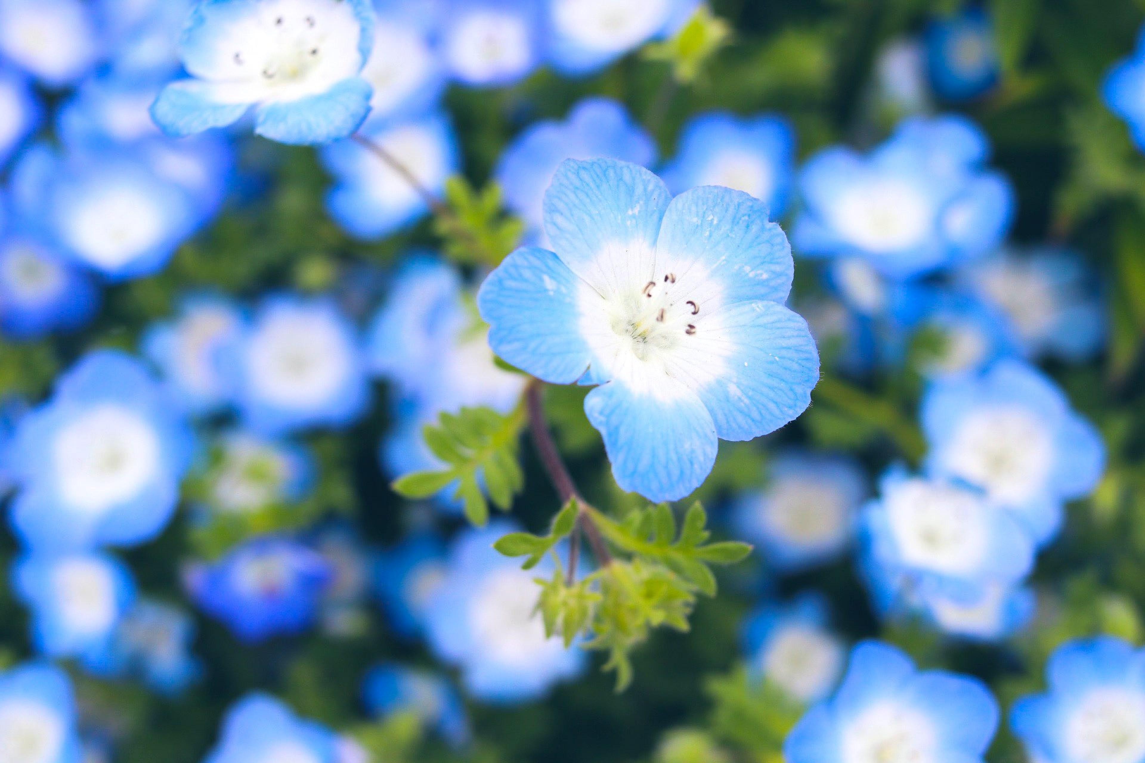 Gambar Biru Baby Blue Eyes Daun Bunga Langit Menanam Tanaman Berbunga Musim Semi Bunga Liar Fotografi Keluarga Borage Mekar Morning Glory 3840x2560 Doughnutew 1605513 Galeri Foto Pxhere