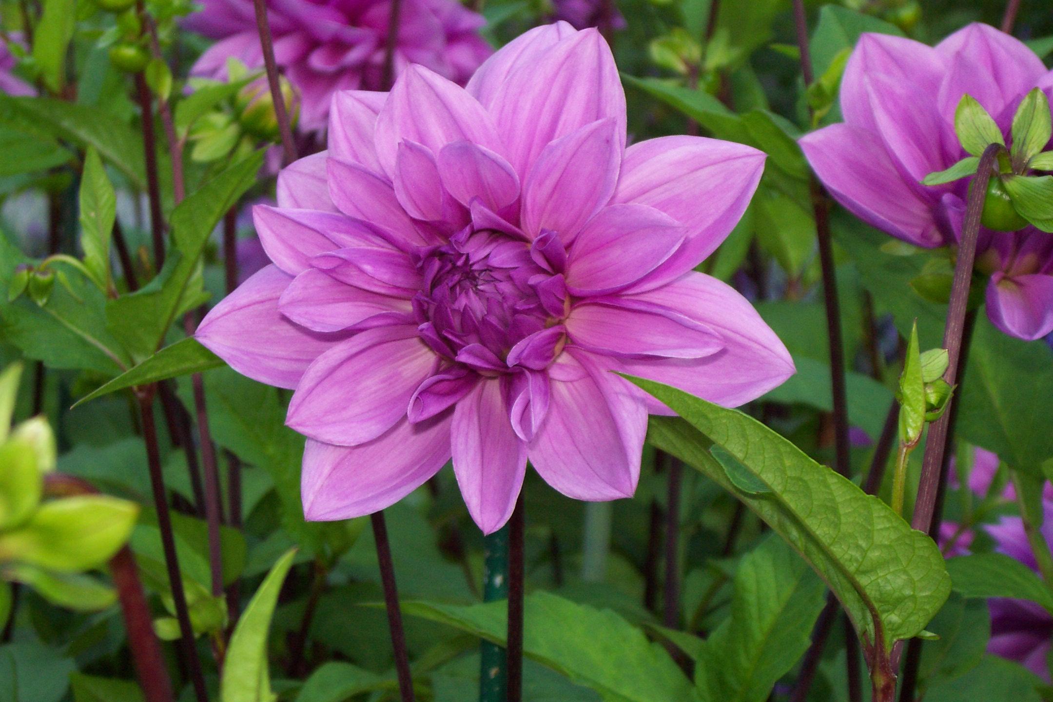 Free Images Flower Dahlia Flora Purple Flowering Plant