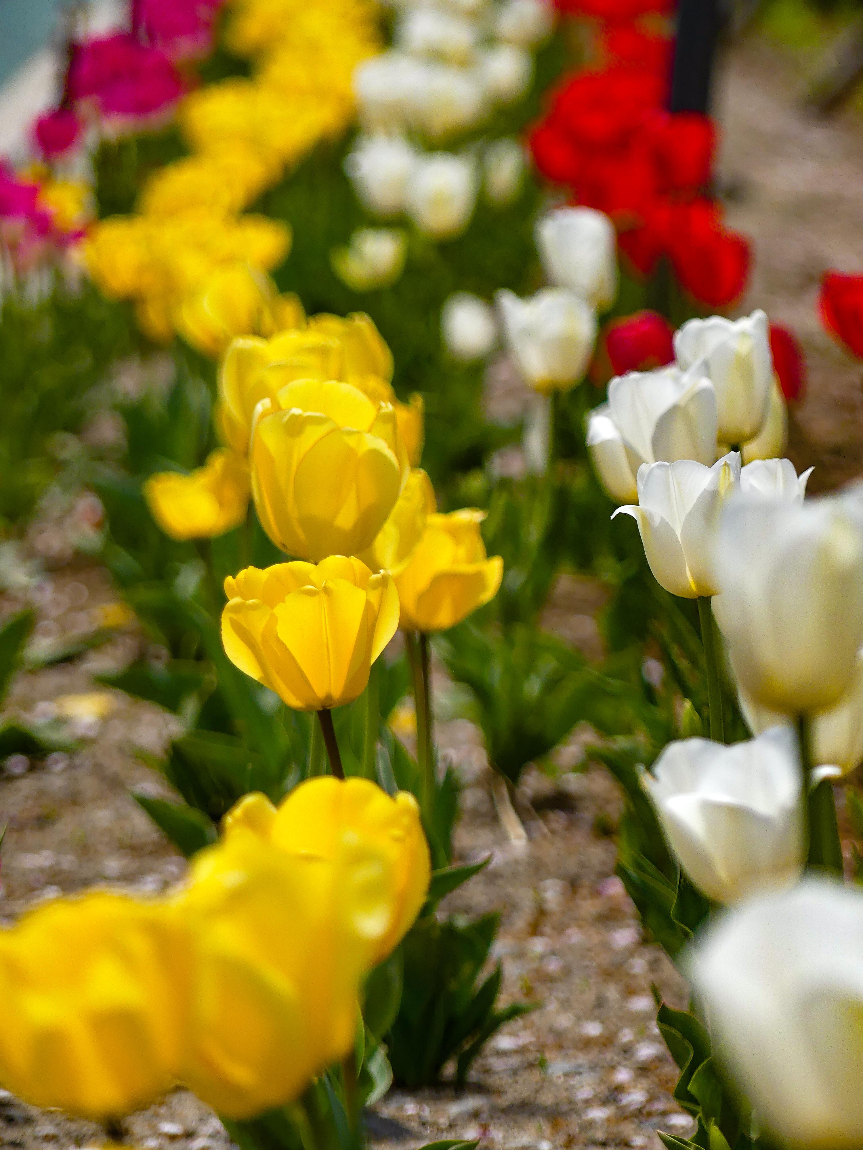 Gambar Tanaman Berbunga Daun Bunga Bunga Tulp Menanam Musim Semi Botani Batang Tanaman Bunga Liar Keluarga Lily Taman Budidaya Bunga Tanaman Tahunan Kebun Raya Padang Rumput Keluarga Violet Warna Kuning Kemerahan