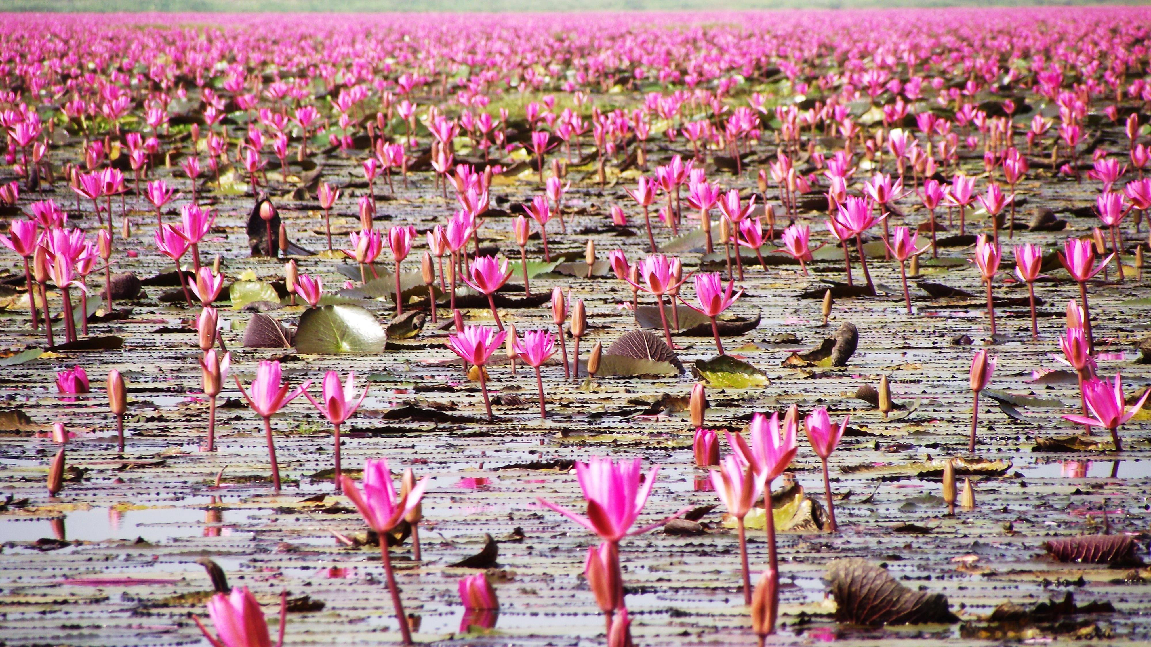 Free Images Flower Flowers Water Bird Red Lotus Lotus Sea