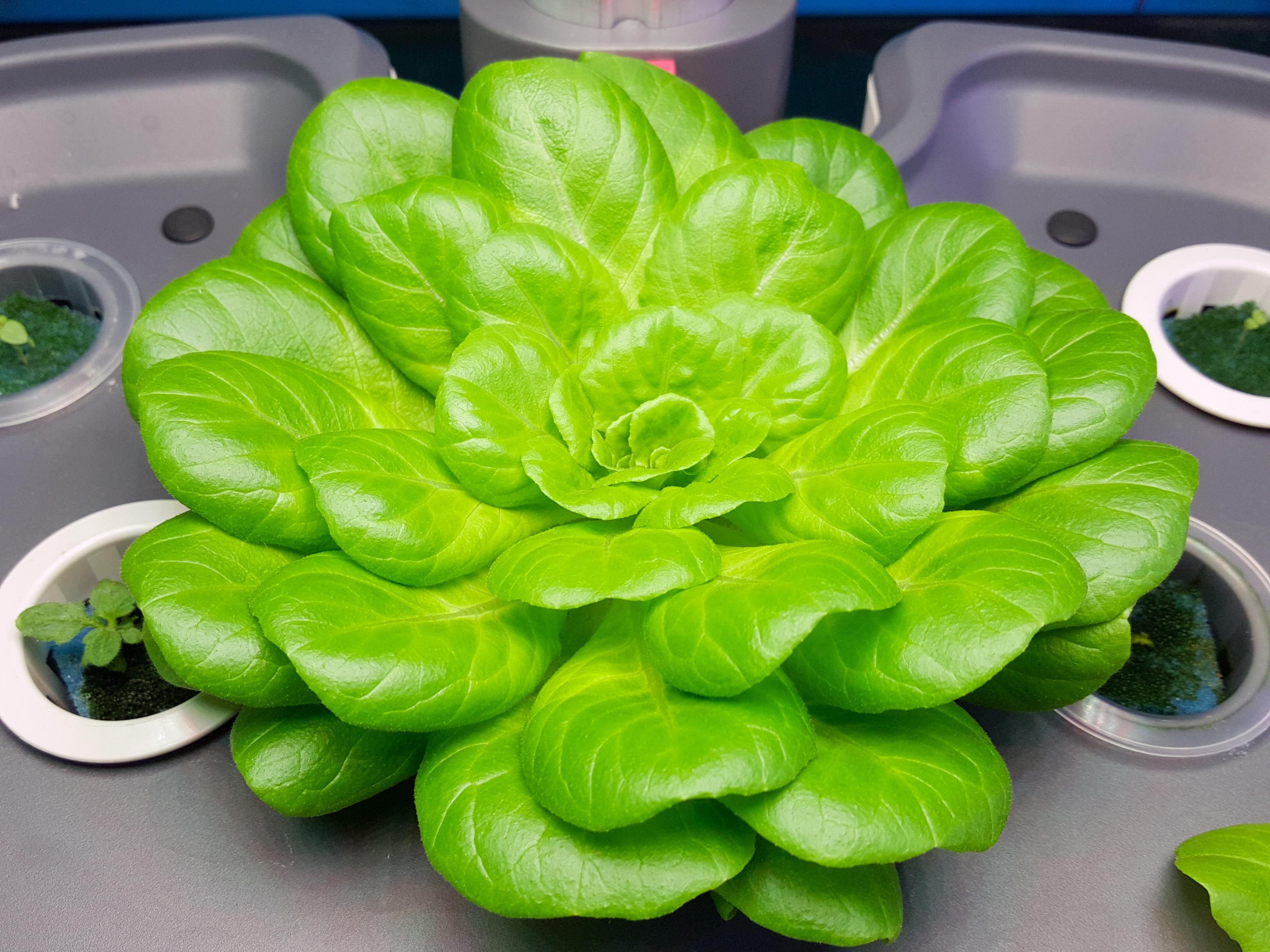 Gambar Bunga Makanan Hijau Menghasilkan Sayur Mayur