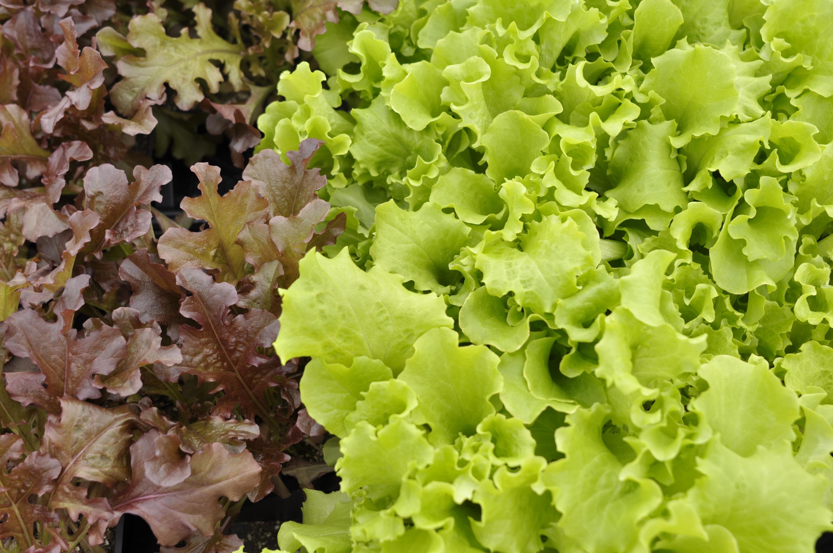 Как выращивать салат в домашних условиях - wikiHow 61