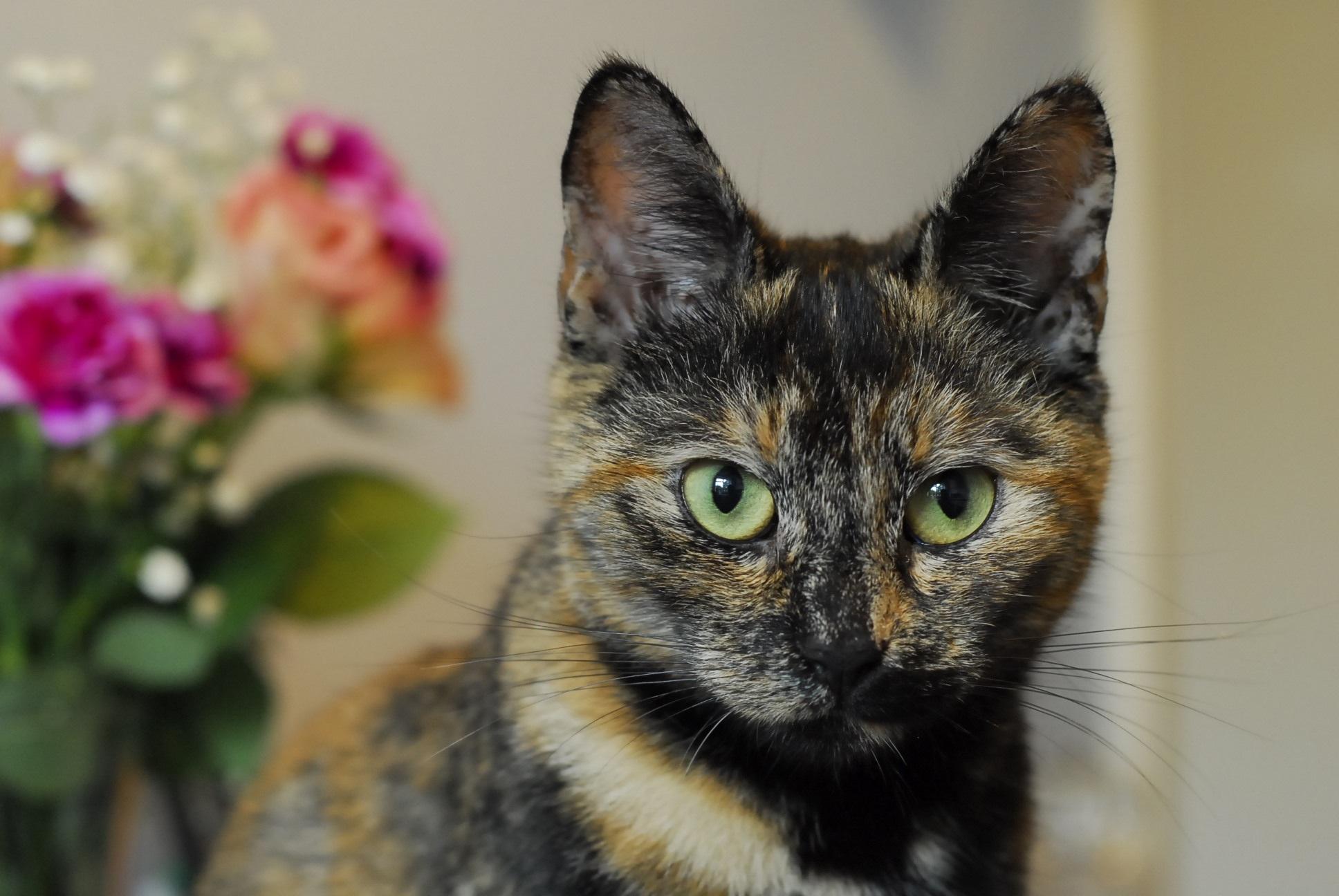 Free images flower kitten fauna close up whiskers eye ears vertebrate tortoiseshell - Images of tortoiseshell cats ...