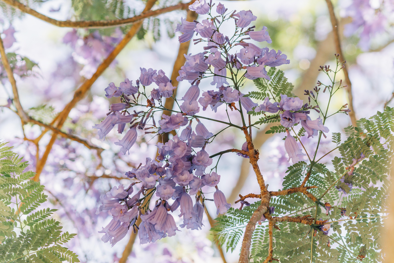 Images Gratuites : fleur, lavande, lilas, printemps, violet, plante à fleurs, arbre, branche ...