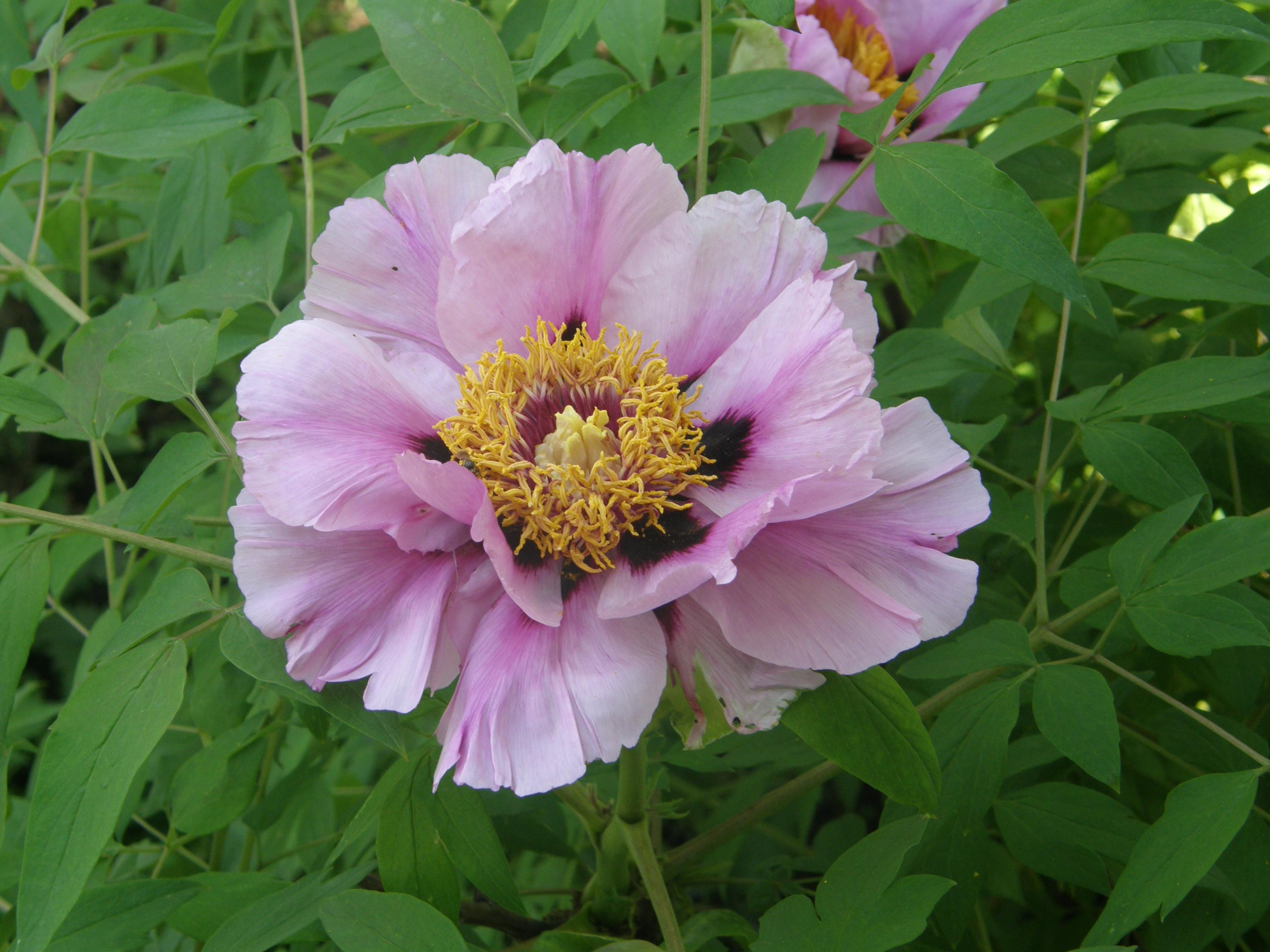 images gratuites : fleur, pivoine, arôme, rose, agréable, beauté