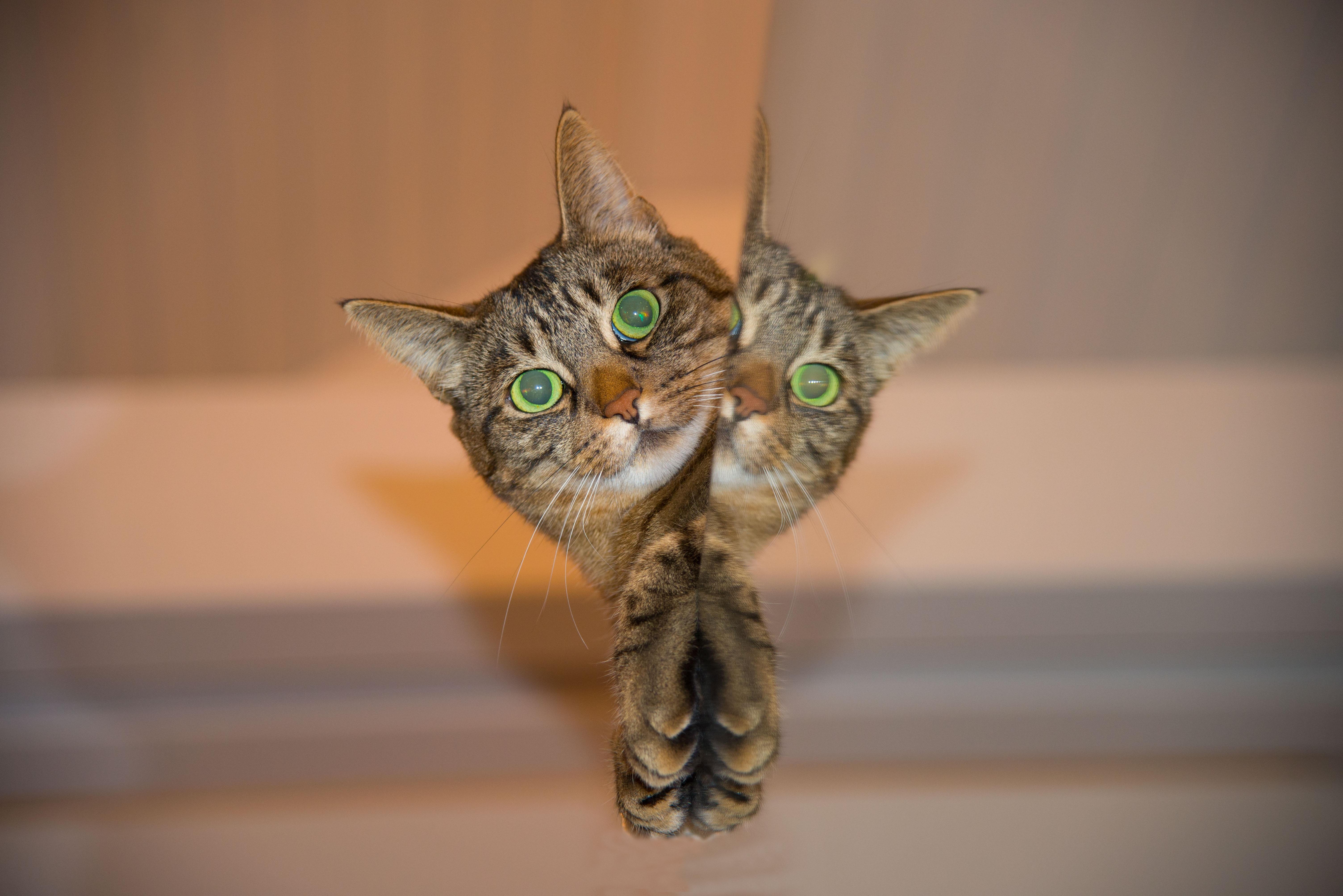 Кот с зеркалом  № 1689870 бесплатно