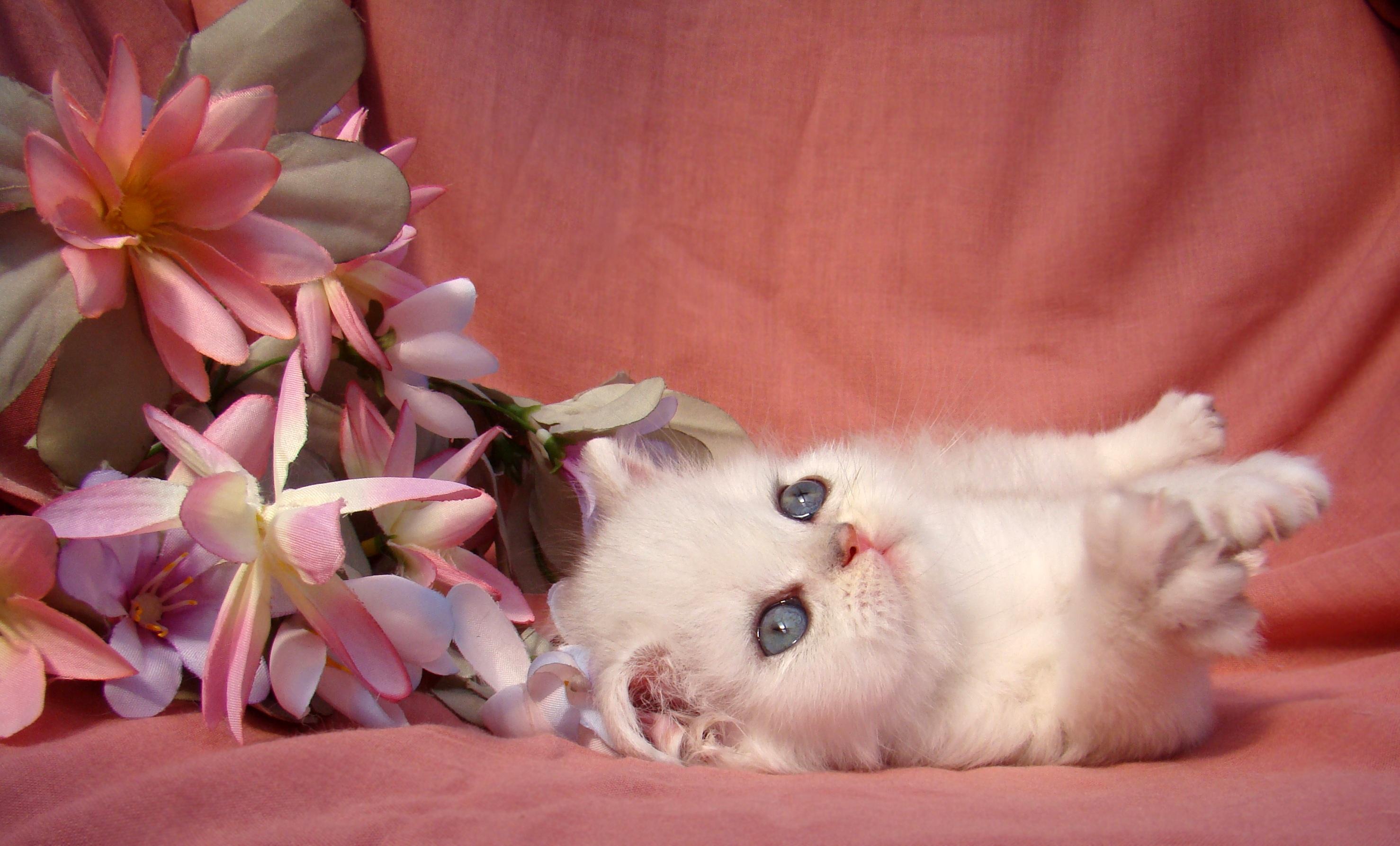 Free images flower petal puppy dog kitten pink skin flower petal puppy dog kitten cat mammal pink skin vertebrate beautiful enjoy pomeranian mys small to mightylinksfo