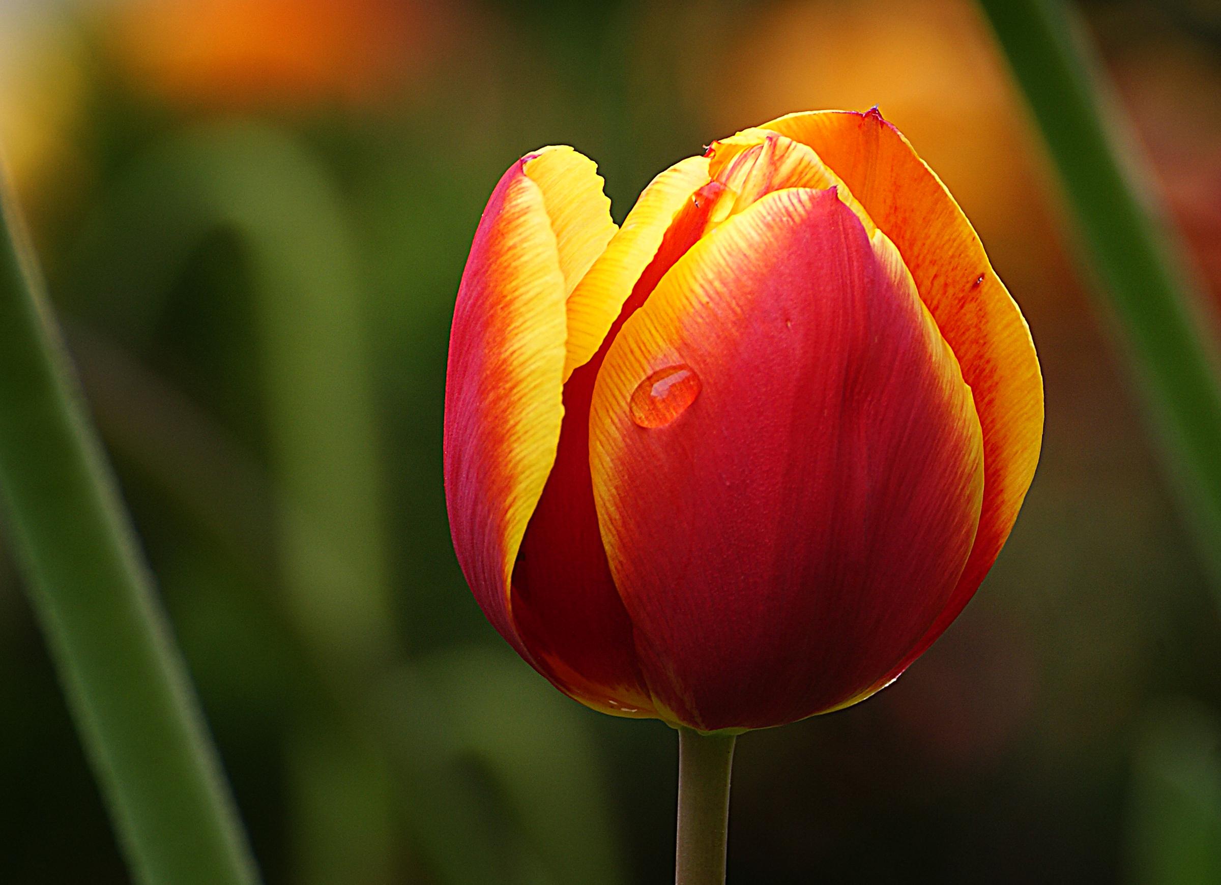 недвижимым имуществом, фото тюльпана крупным планом в хорошем качестве нас уже