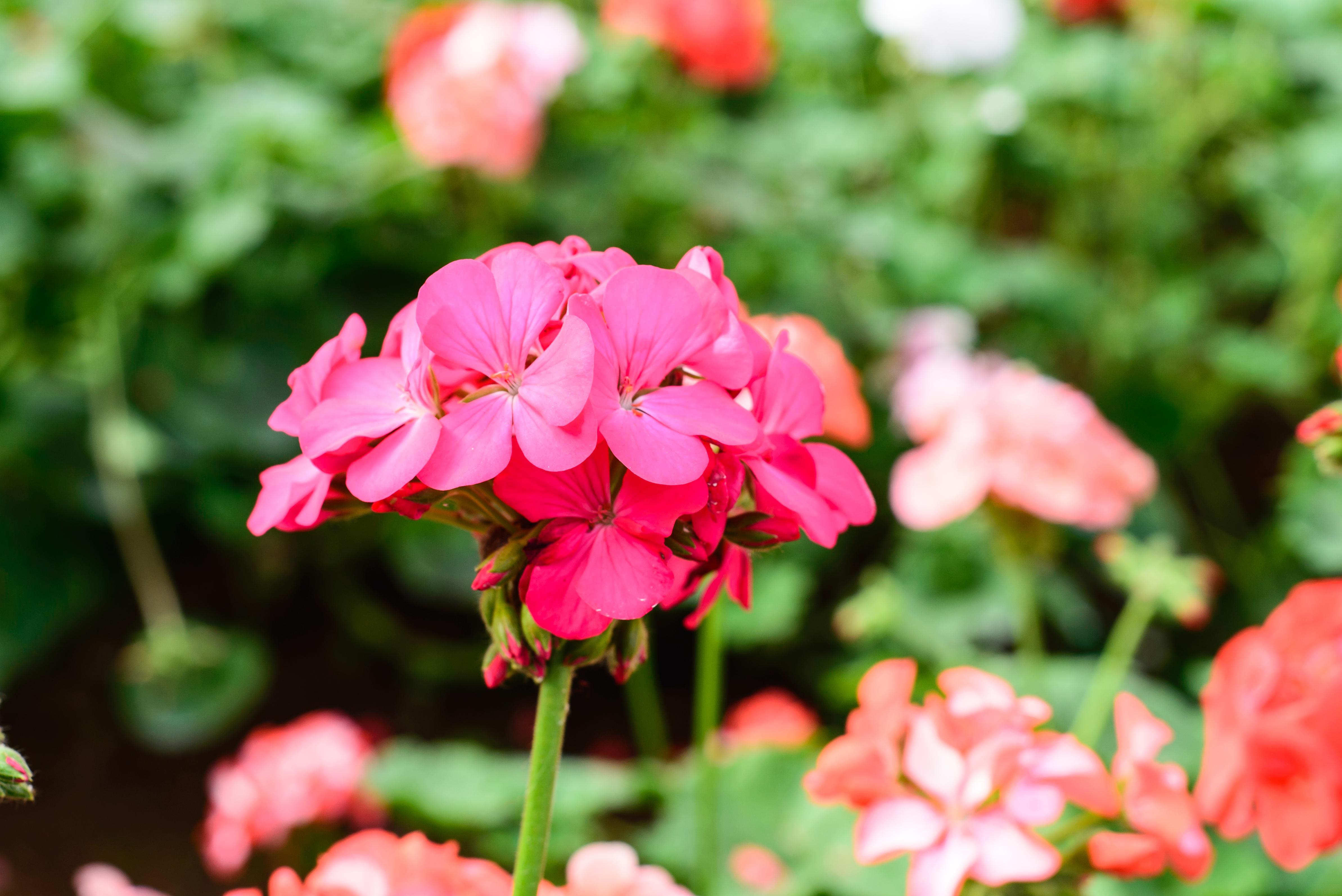 Images Gratuites : jardin, jardins, fleur rose, la nature ...