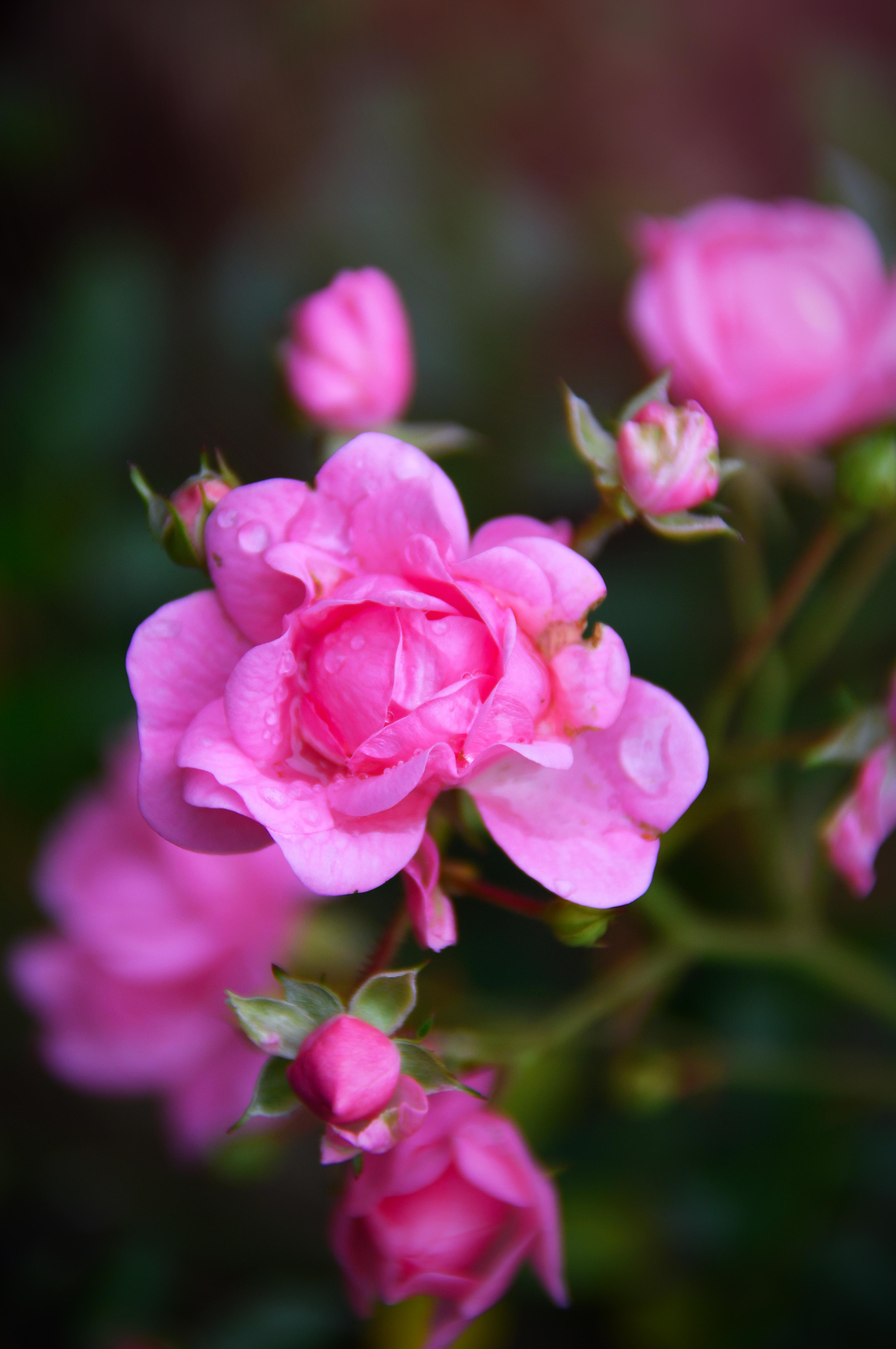 Free Images Flower Pink Flora Flowering Plant Rose