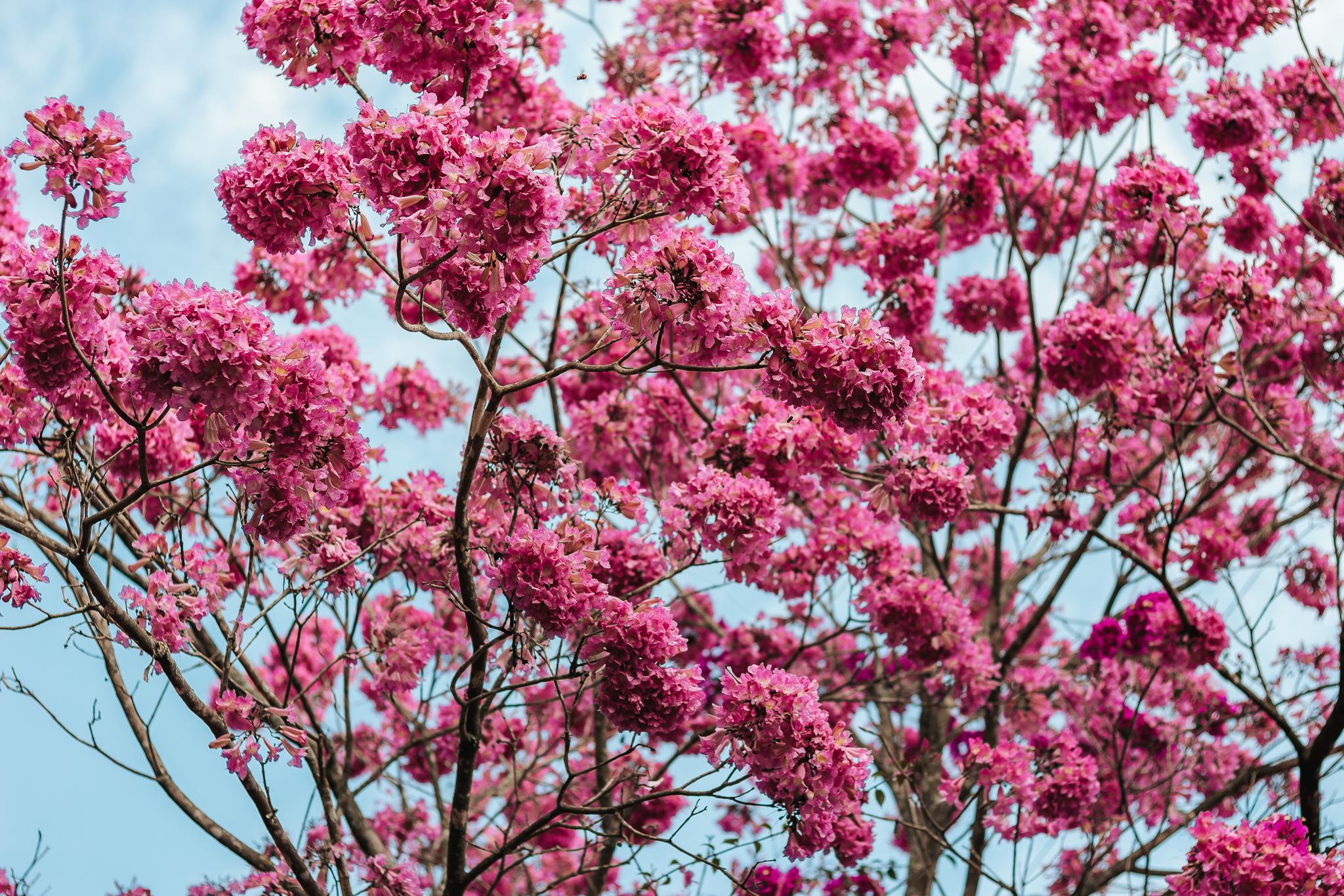 images gratuites : rose, plante, printemps, arbre, flore, branche