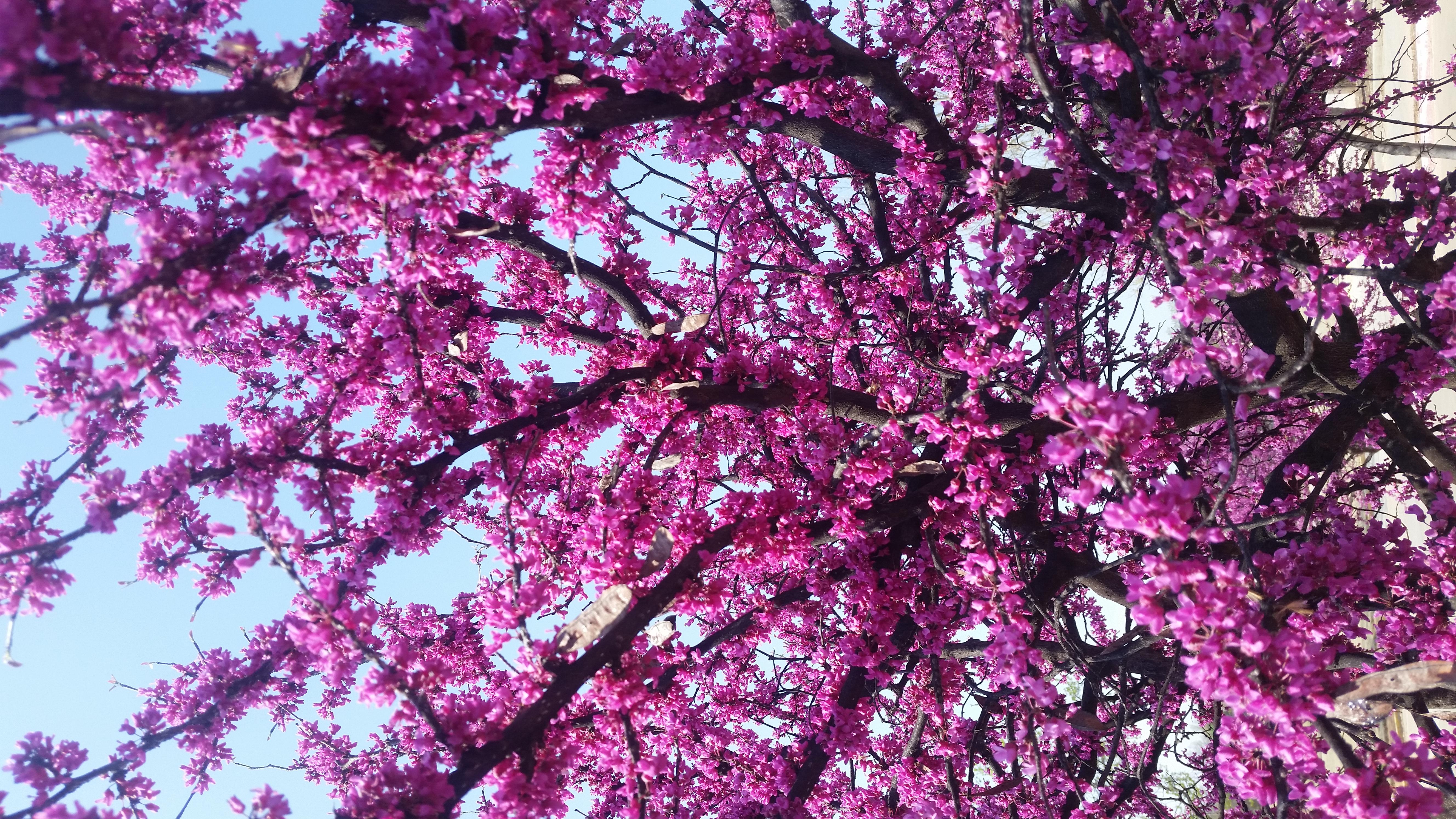 images gratuites : rose, violet, arbre, branche, printemps, plante