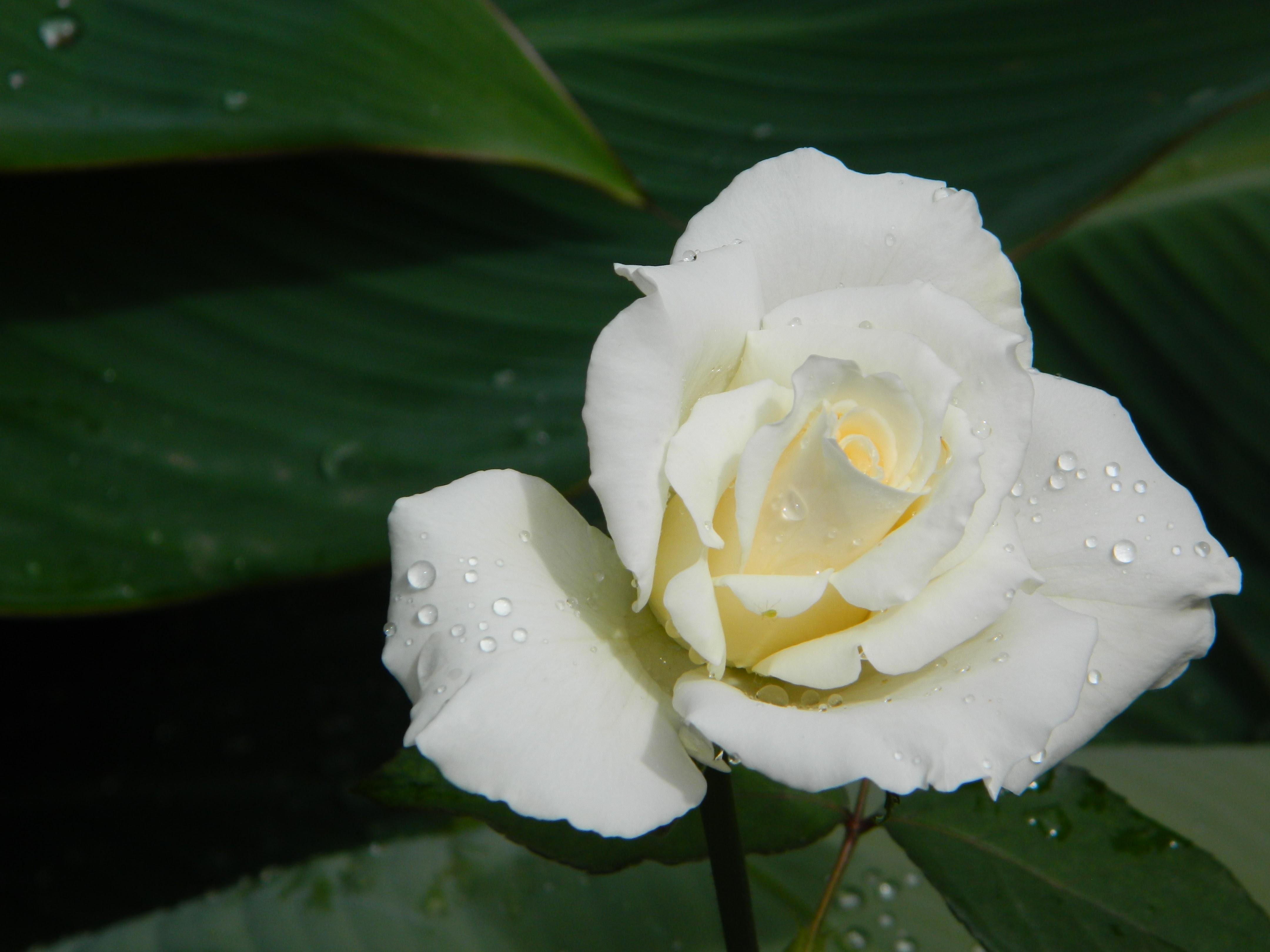 Free Images Flower Pink White Flora Rose Family Petal