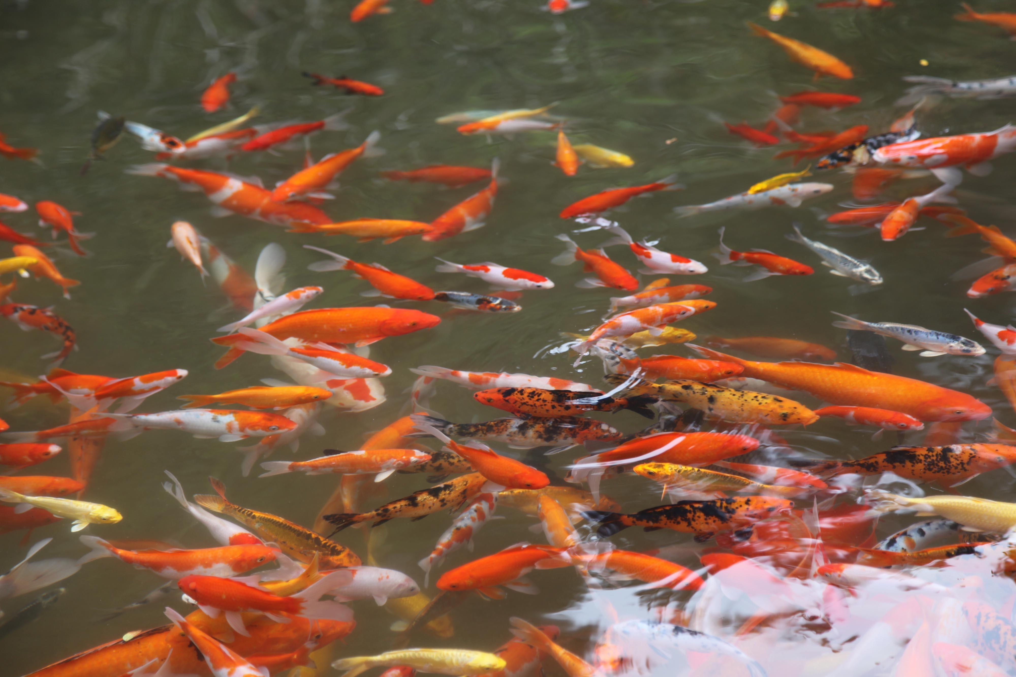 flor piscina estanque pescado alimentacin pez de colores koi estanque de peces fenmeno geolgico biologa marina
