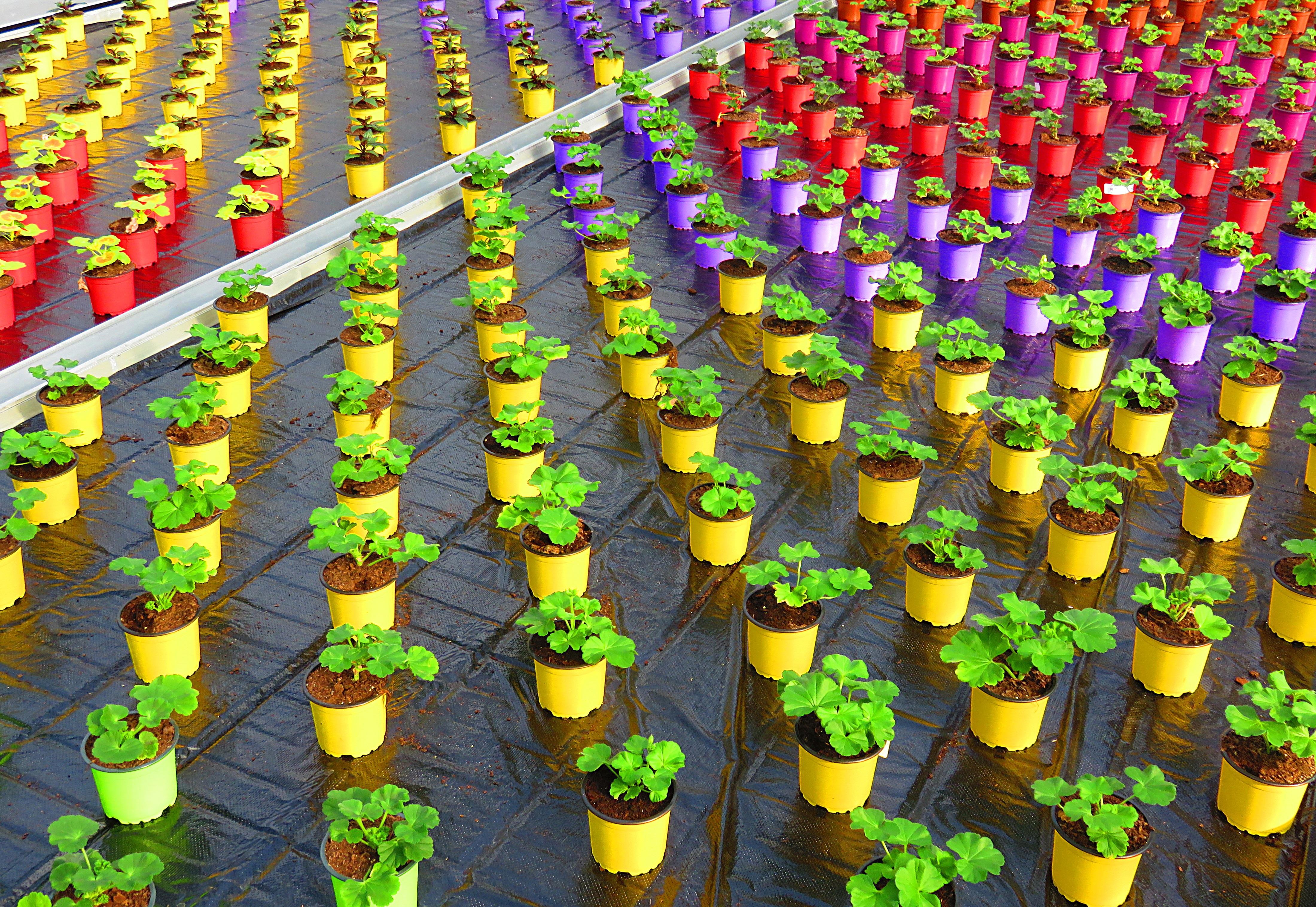 Free Images : flower, pot, green, color, greenhouse, geranium ...