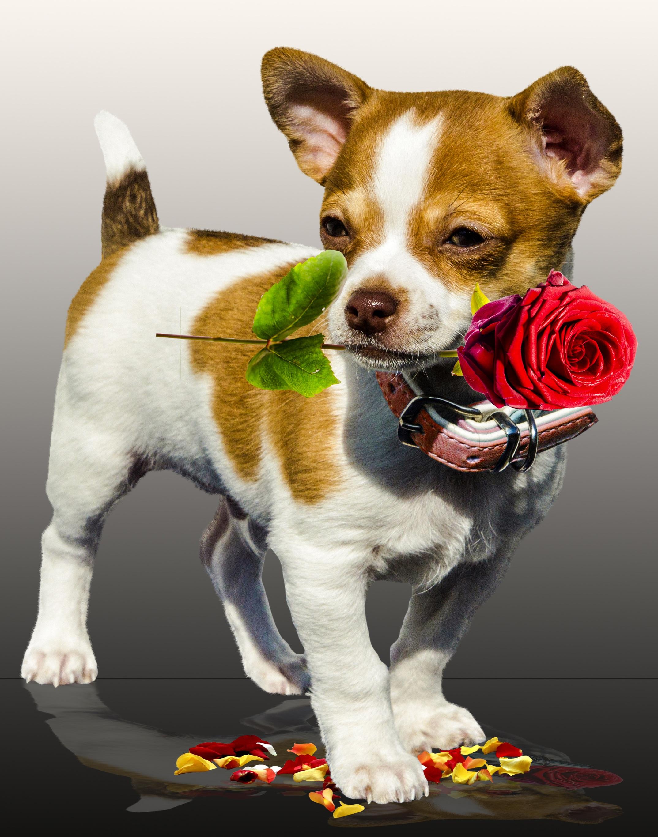 Images Gratuites Fleur Chiot Animal Amour Rose Messager