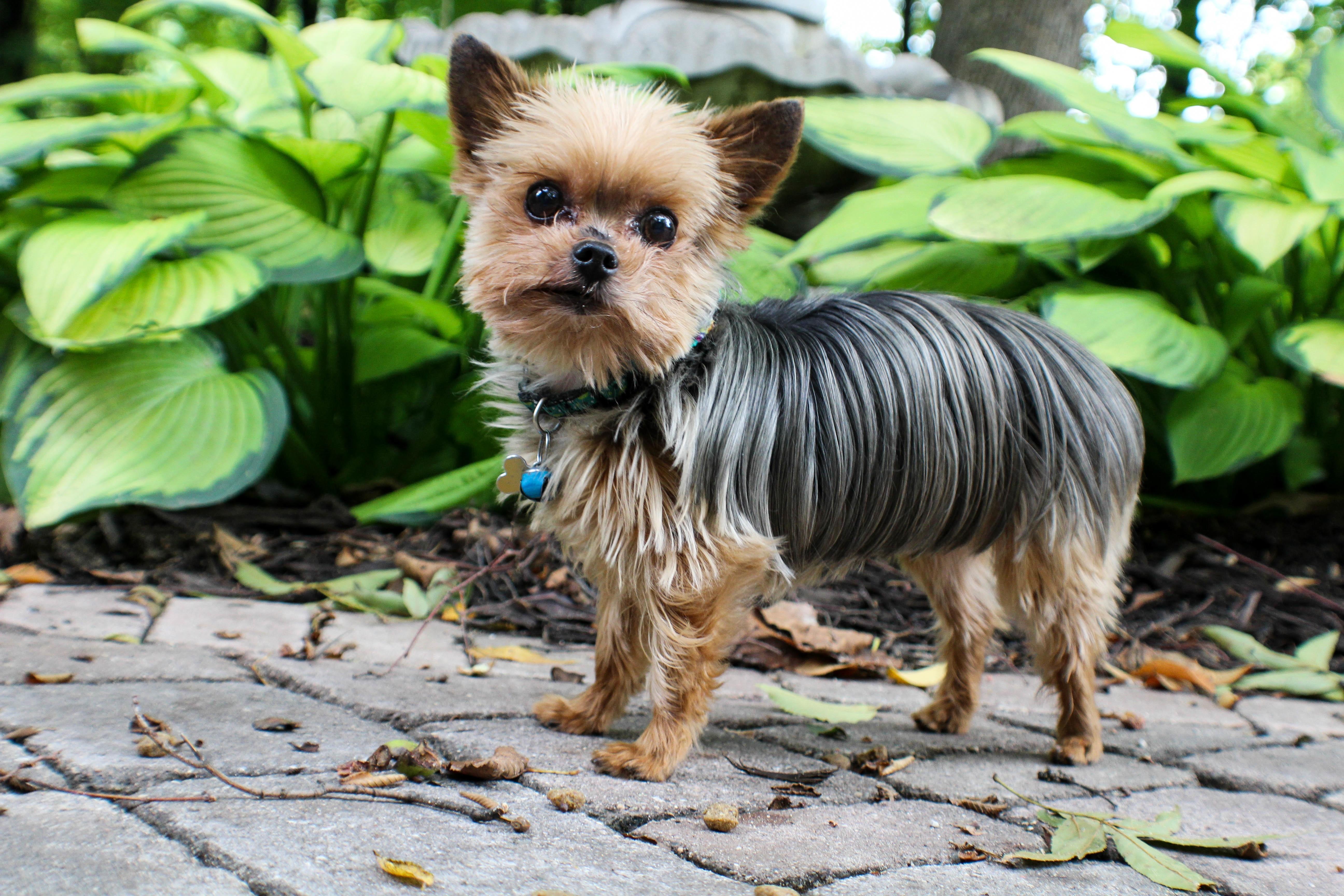 Free Images : flower, puppy, vertebrate, dog breed, yorkshire